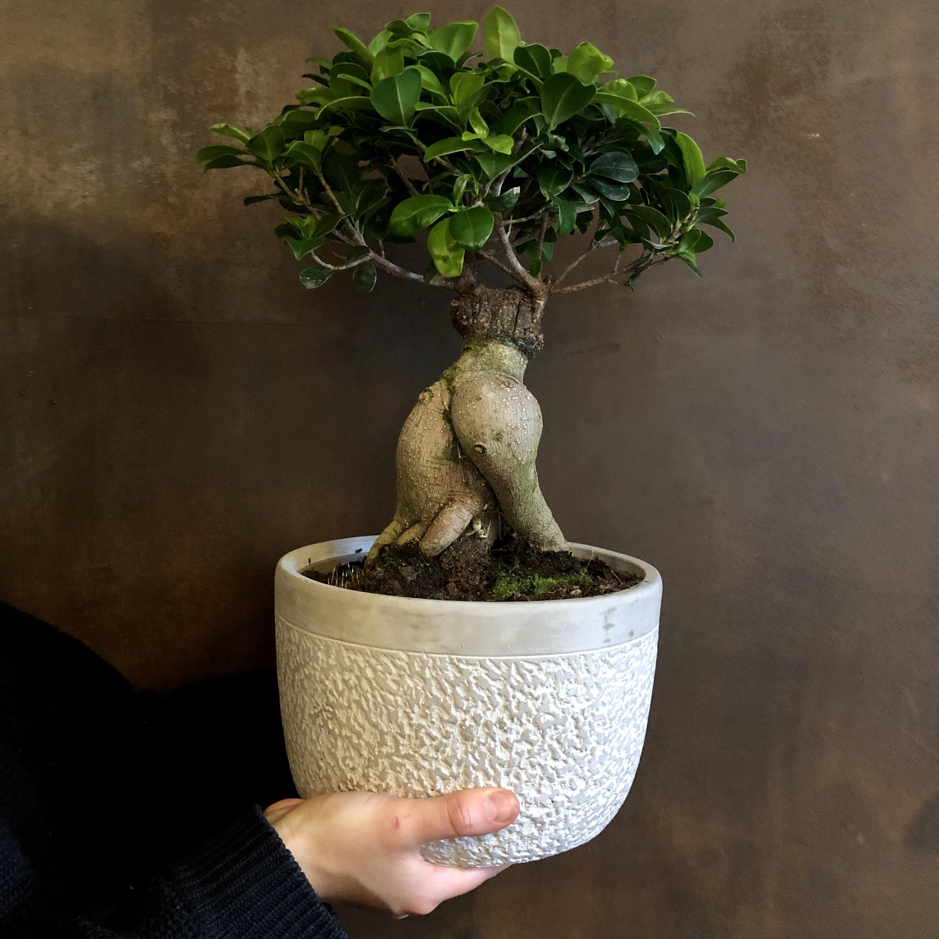 Ficus microcarpa 'Ginseng' (Large)