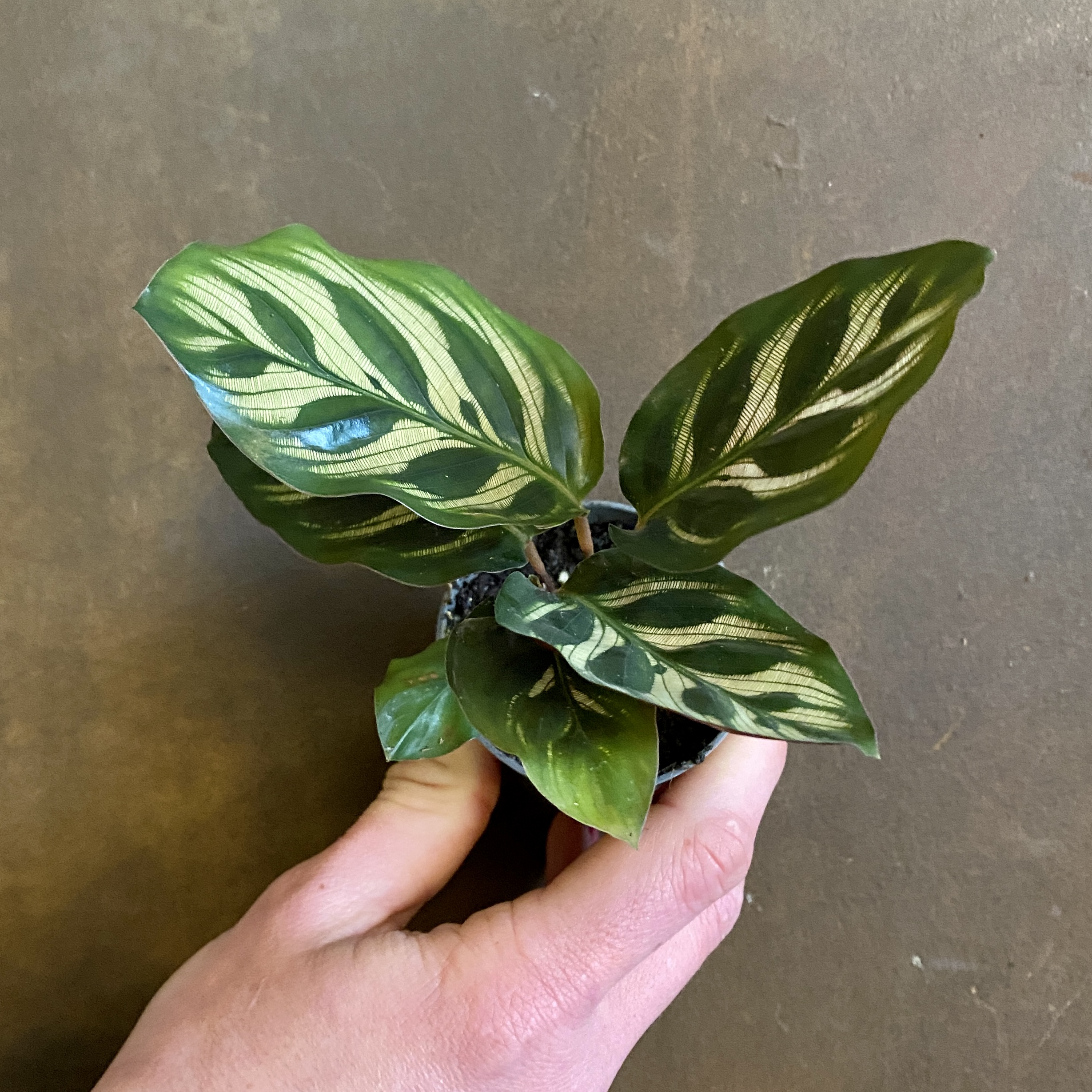 Calathea makoyana (6cm pot)