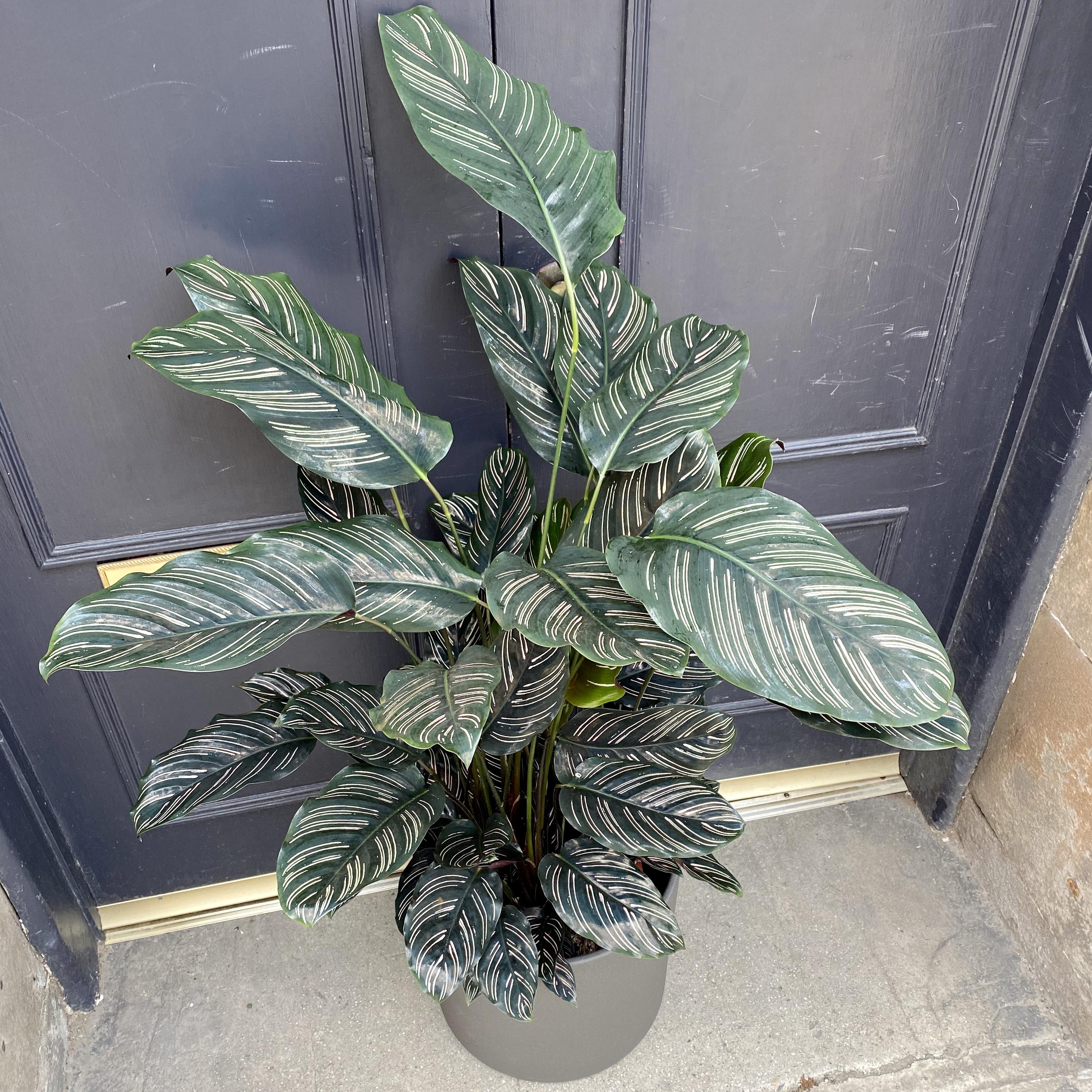 Calathea ornata (27cm pot)