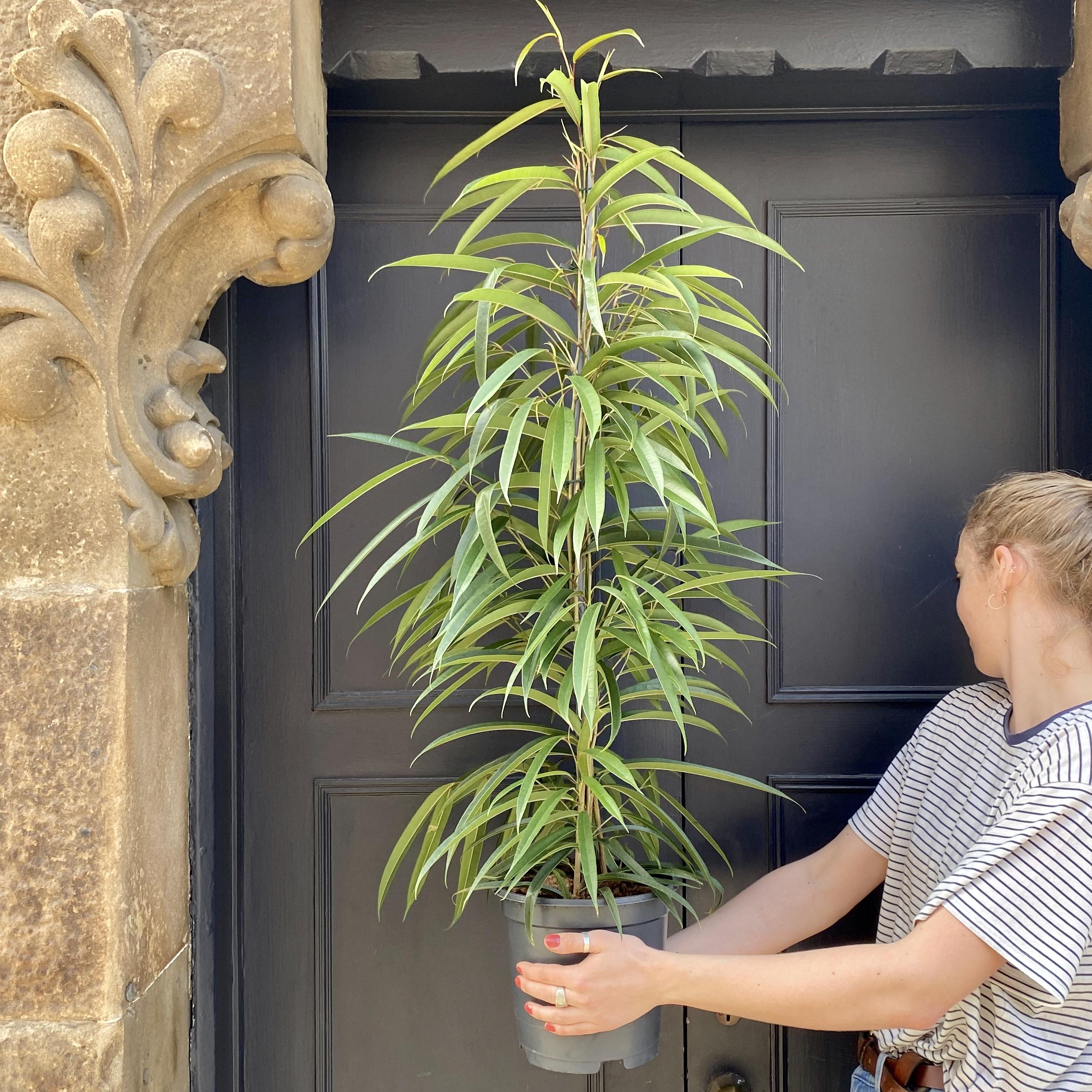 Ficus 'Alii' (21cm pot)