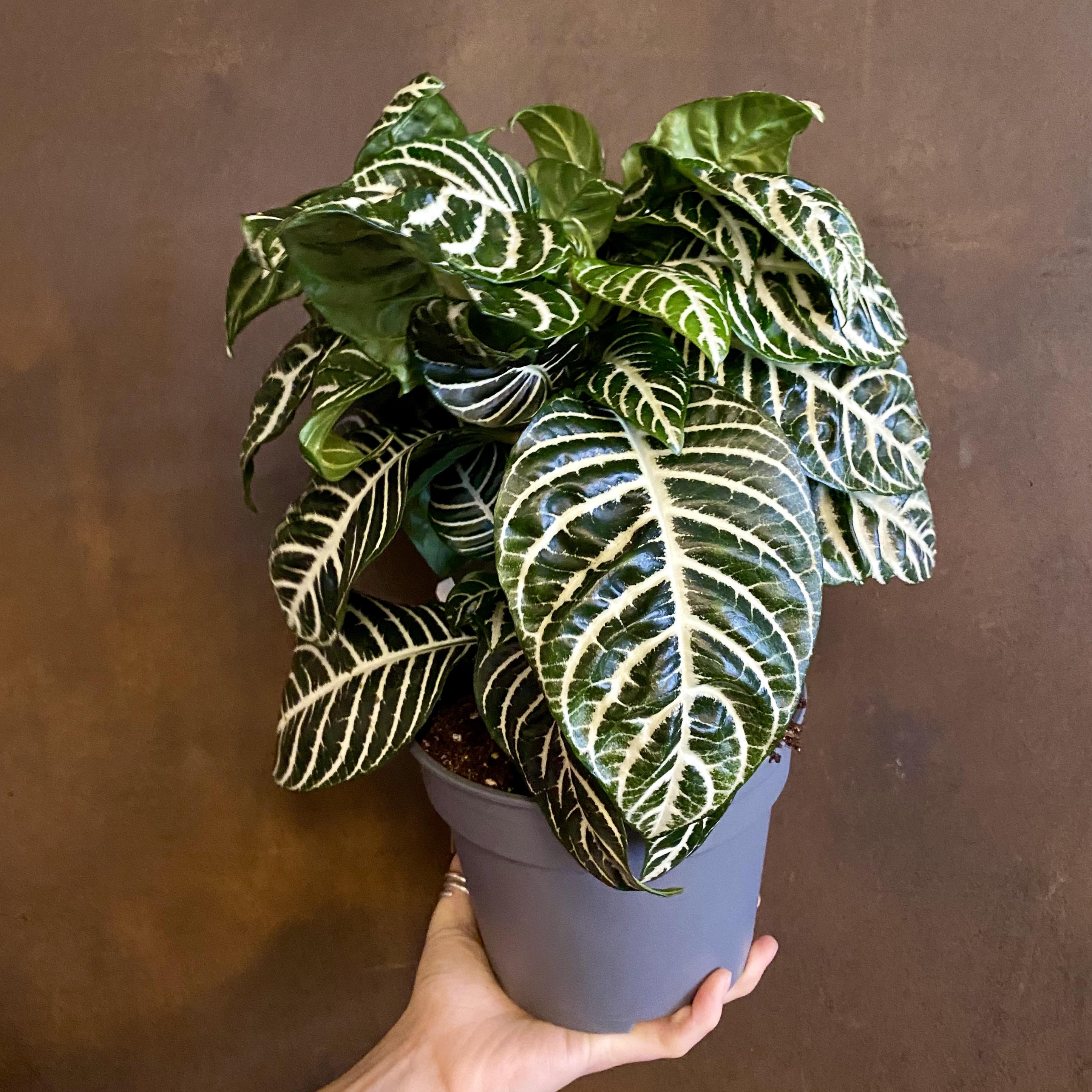 Aphelandra 'Dania' (17cm pot)