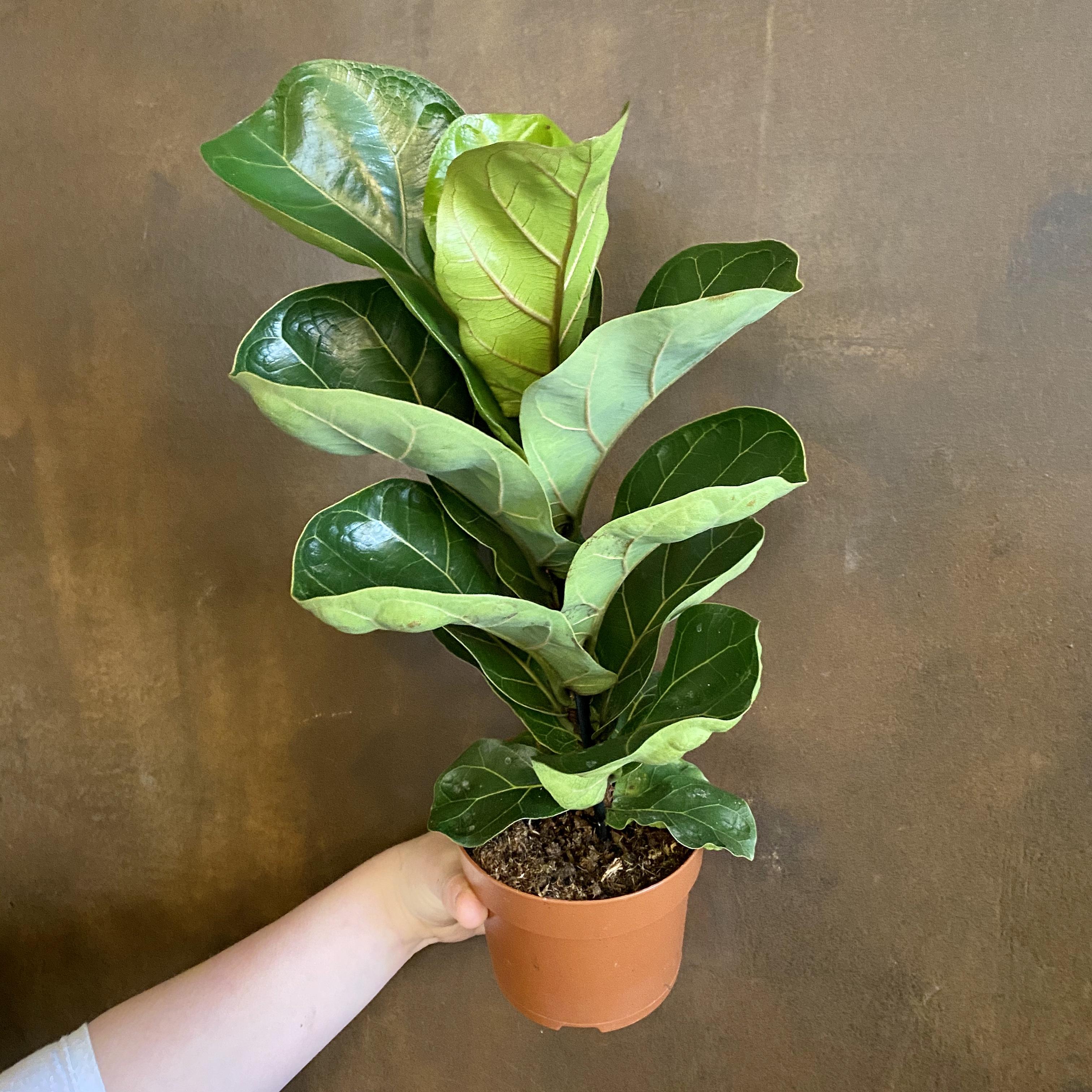 Ficus lyrata 'Bambino' (12cm pot)