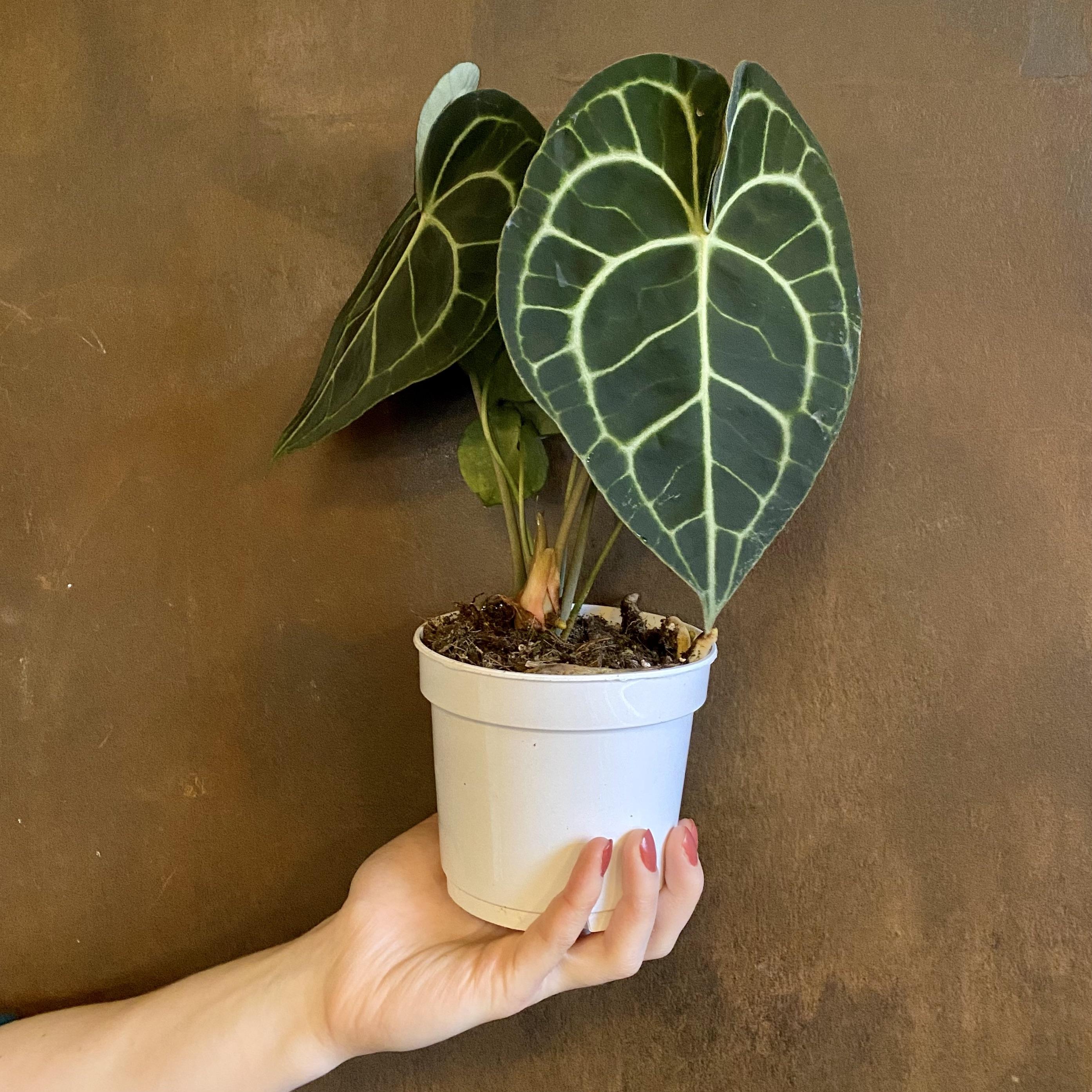 Anthurium clarinervium (12cm pot)