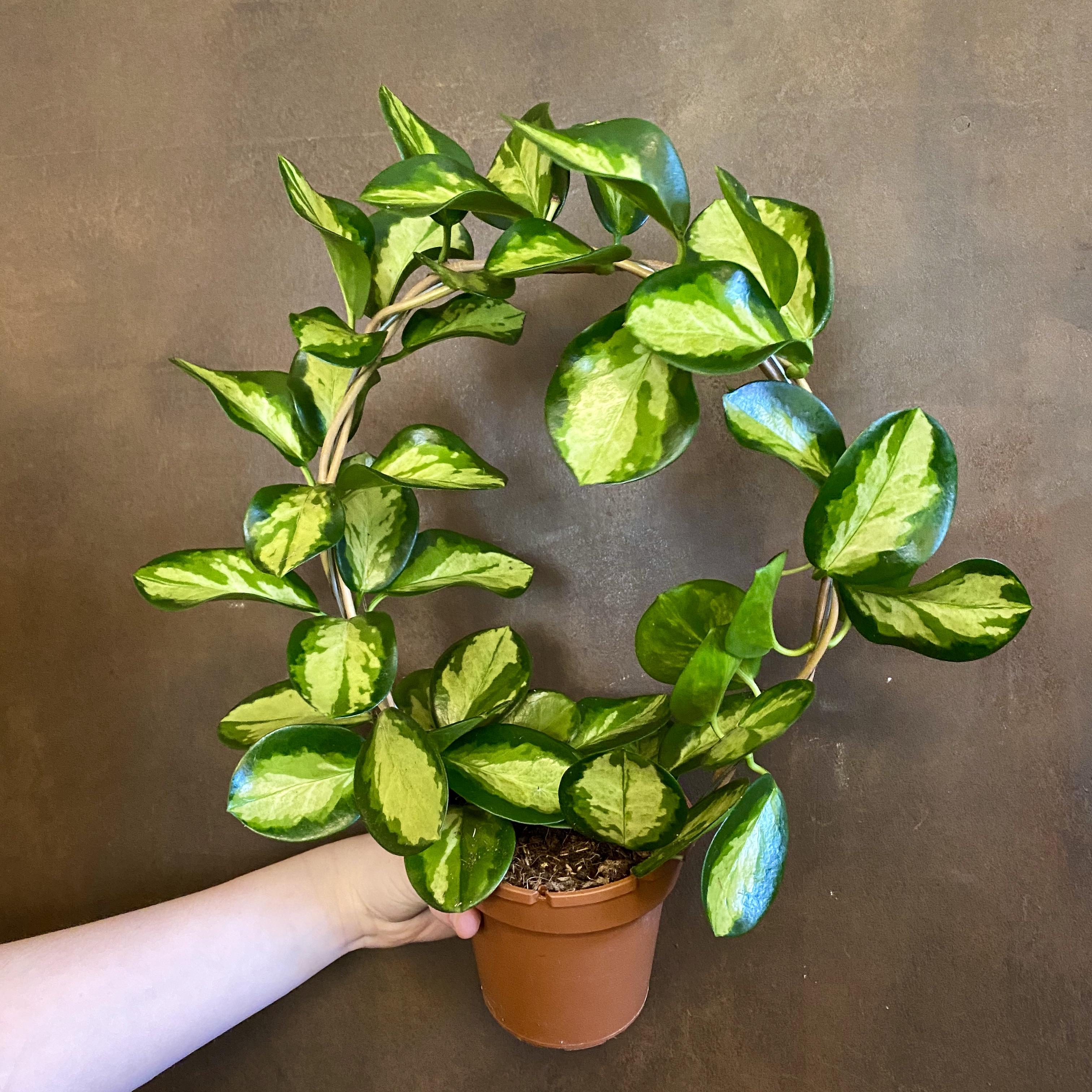 Hoya australis 'Lisa' (hoop)