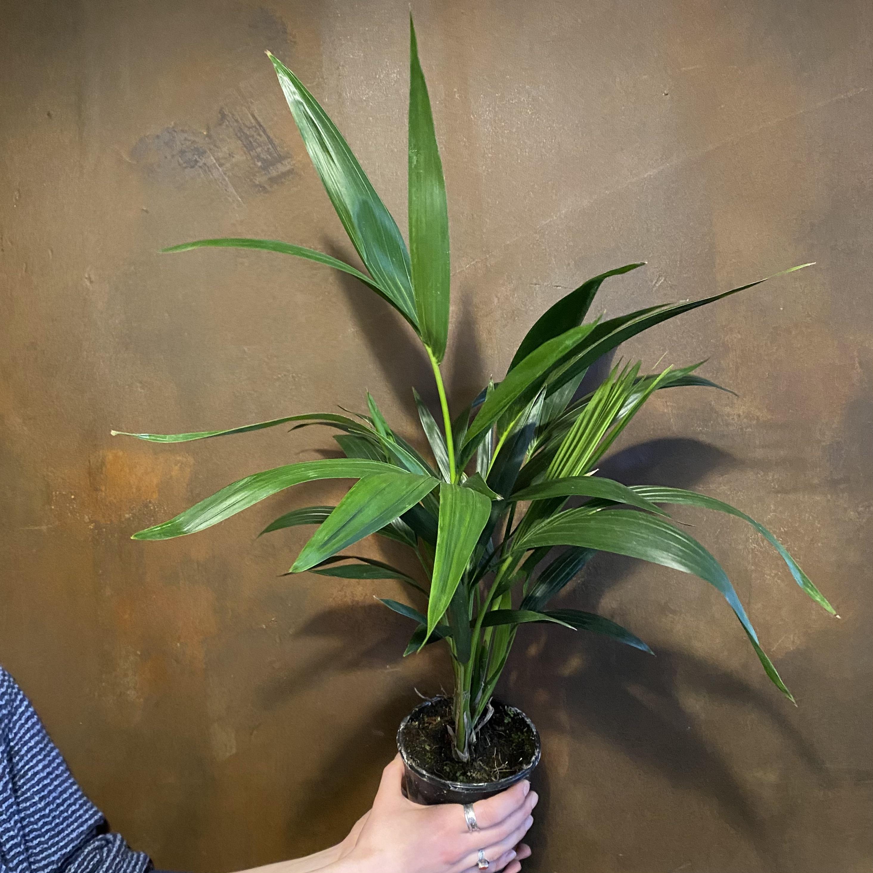 Howea forsteriana [Kentia] - 13cm pot