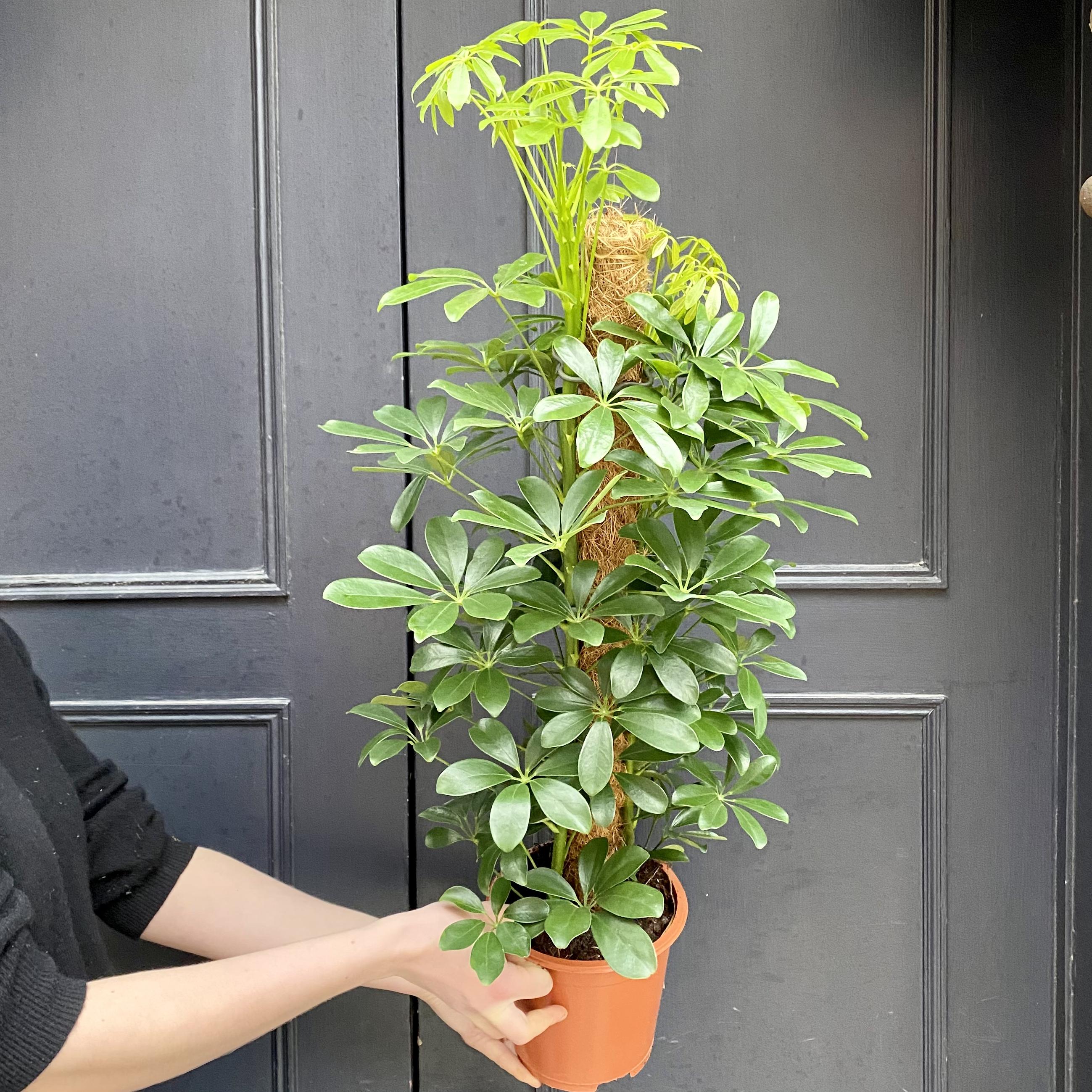 Schefflera 'Nora' (moss pole)