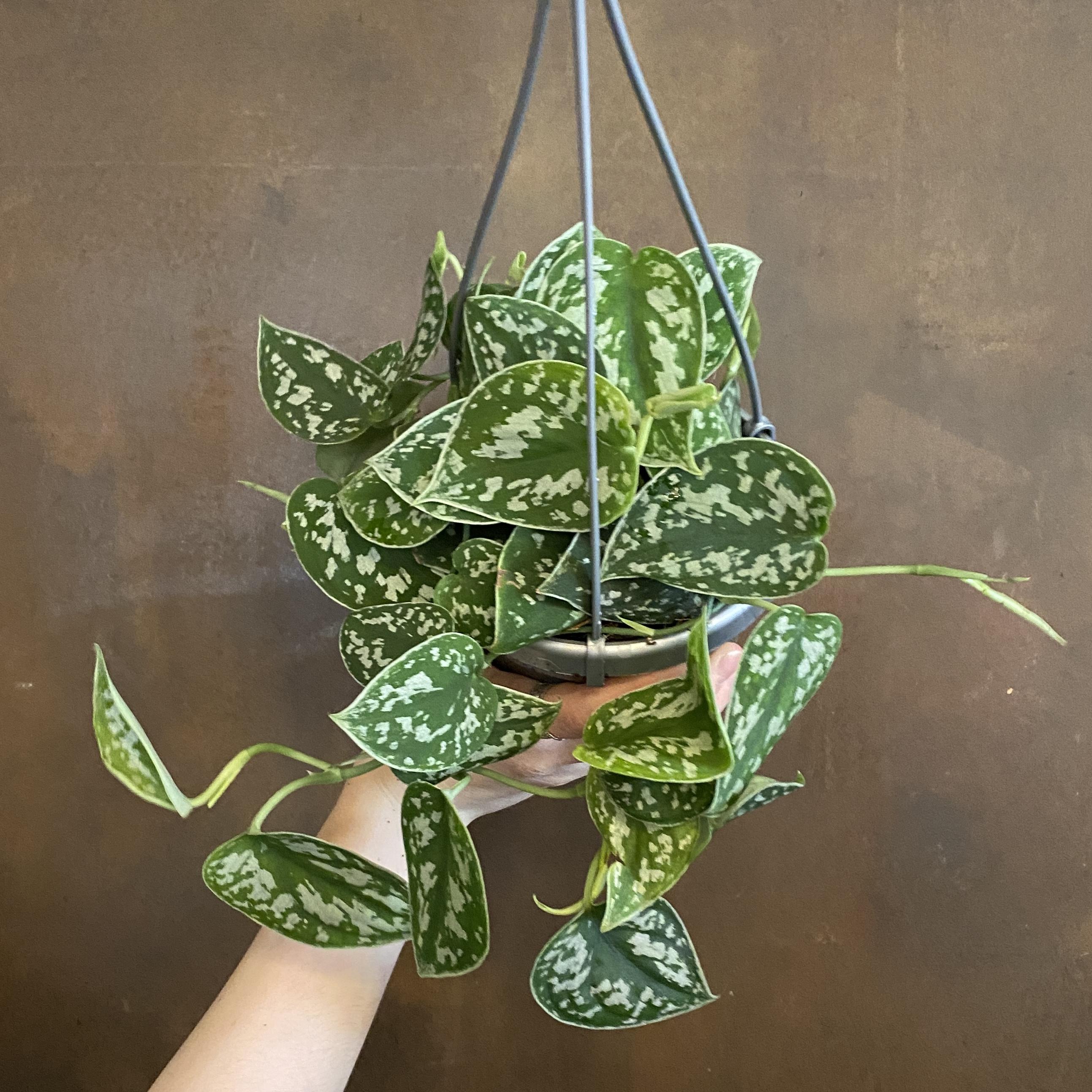 Scindapsus pictus (hangpot)