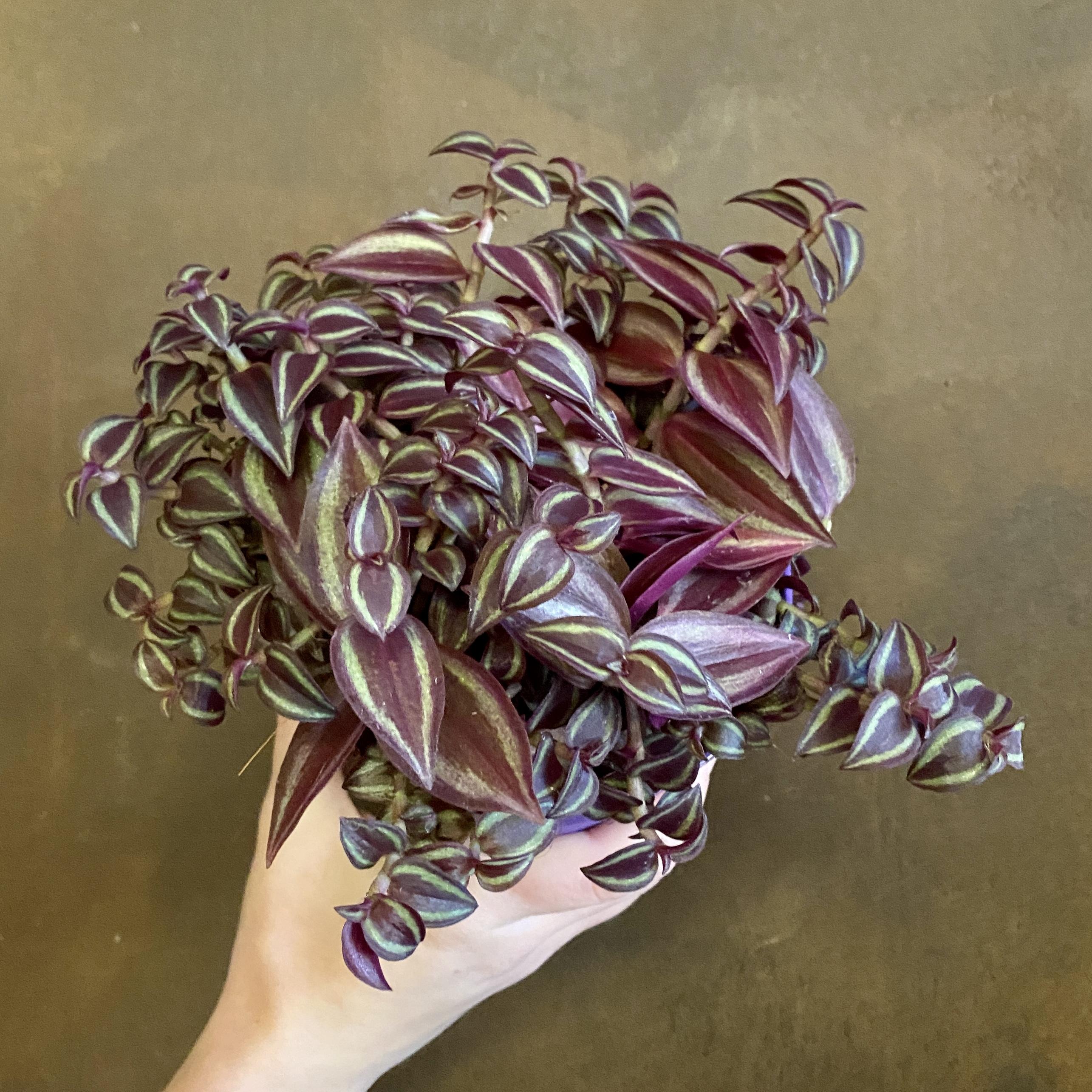 Tradescantia zebrina 'Purple Passion'