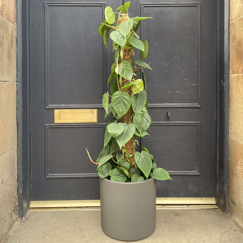 Philodendron scandens (24cm pot)