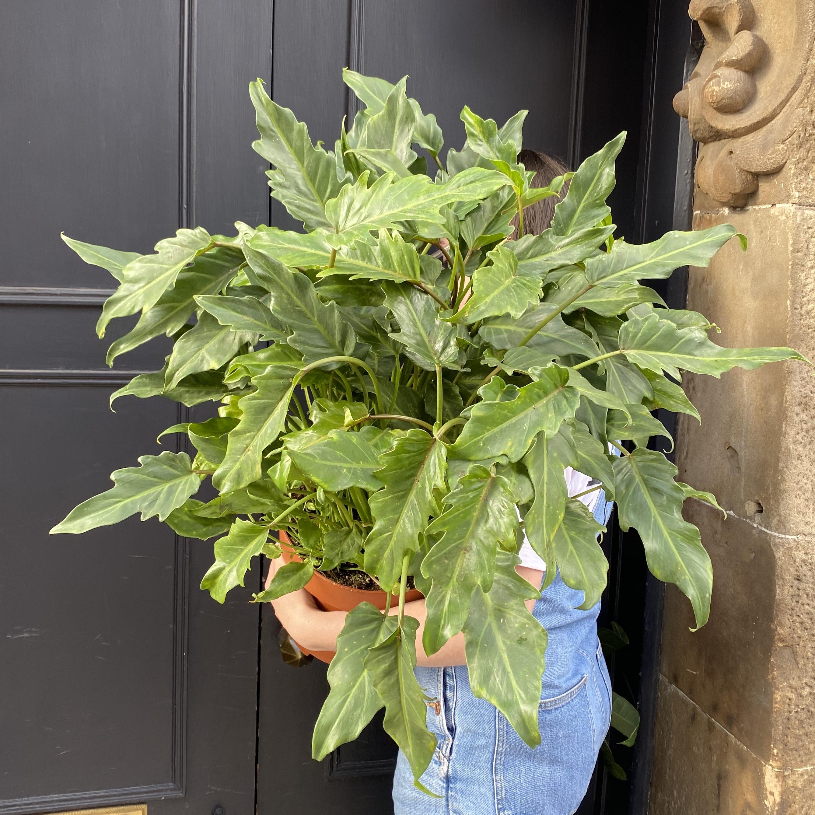 Philodendron 'Xanadu' (24cm pot)
