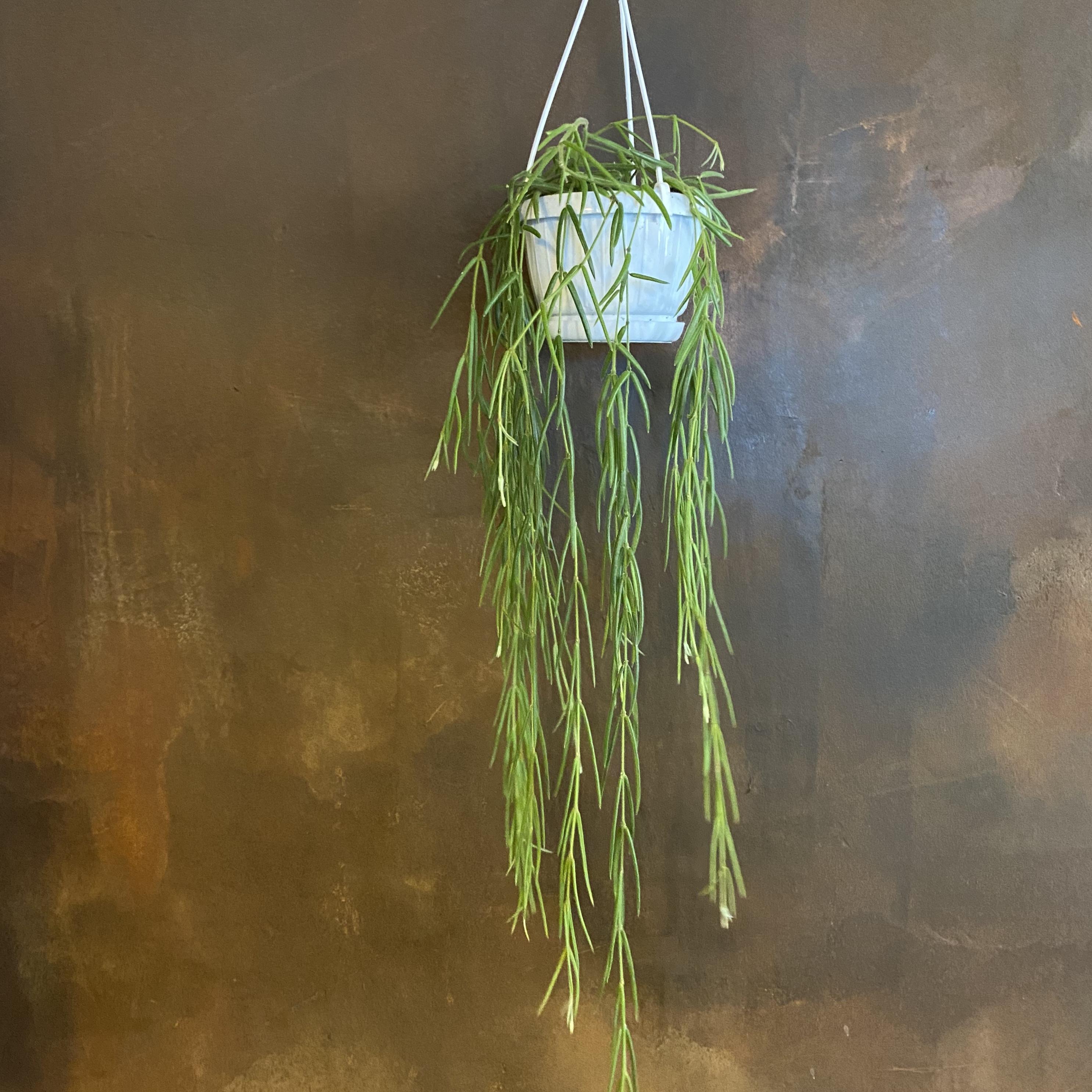 Hoya linearis (12cm hangpot)