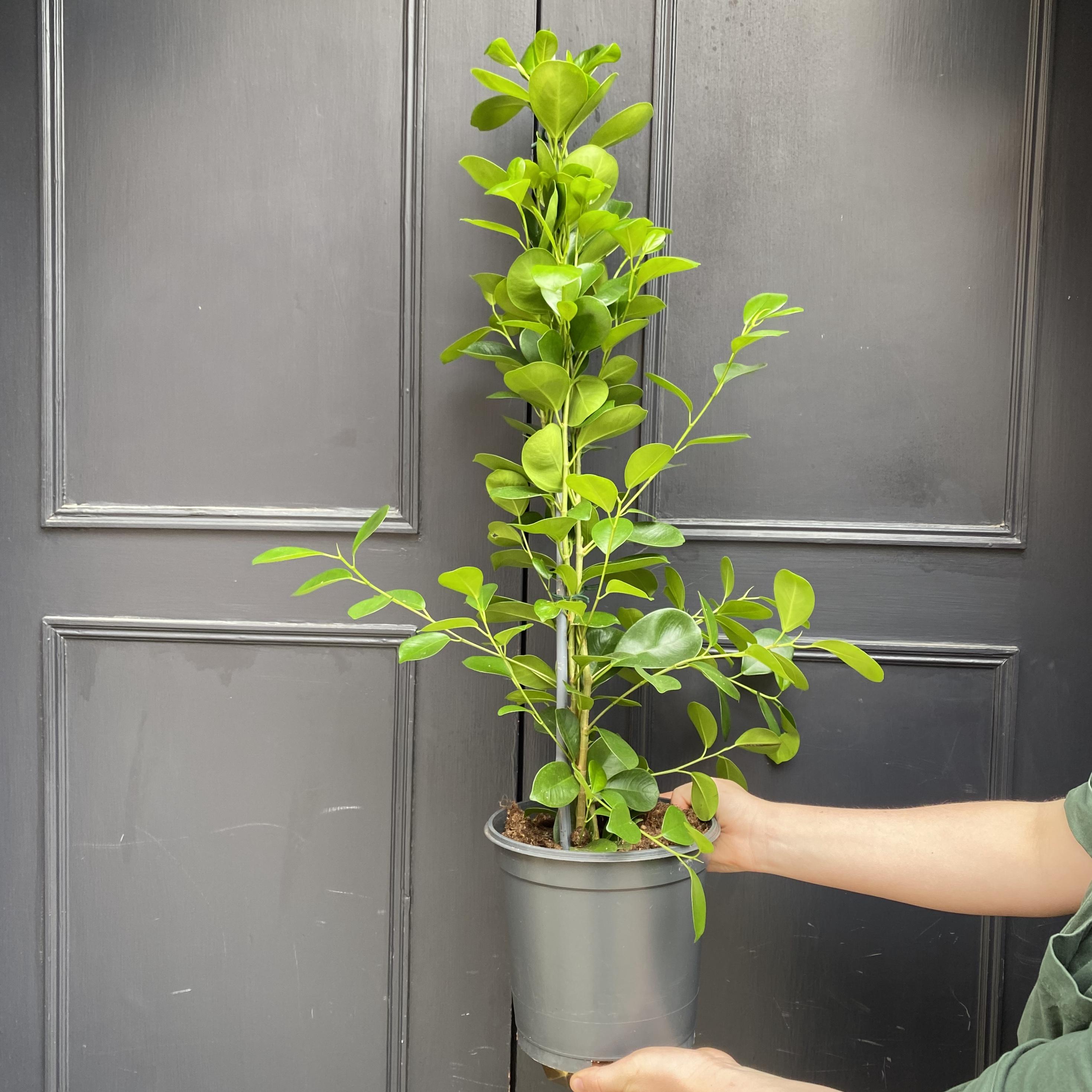 Ficus 'Moclame'