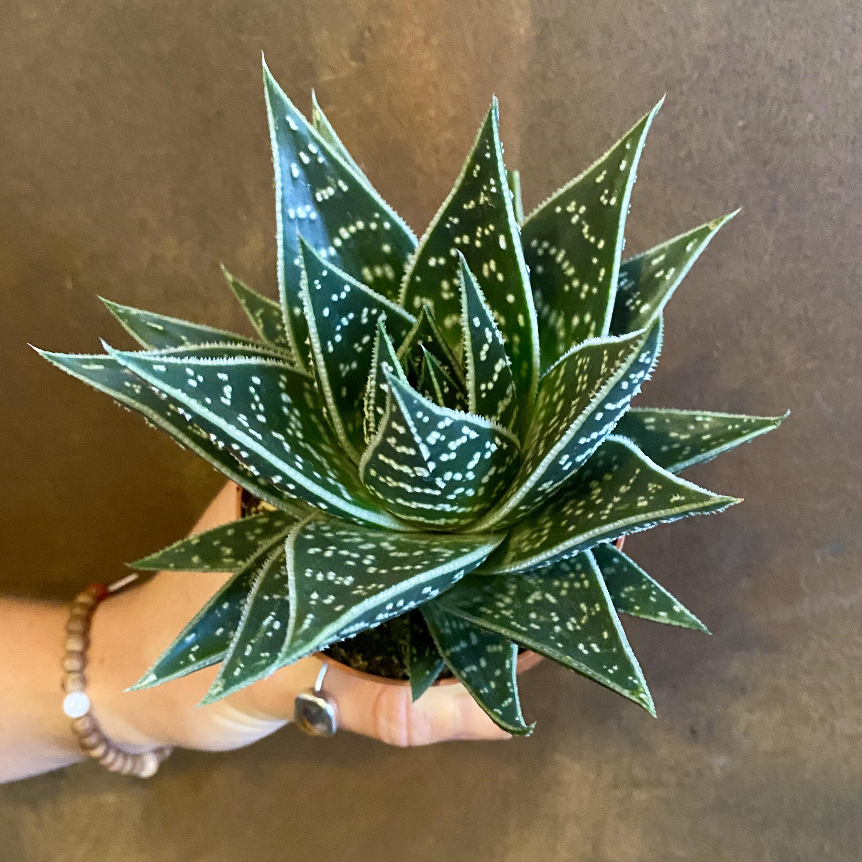 Aloe 'Tiki Tahi'