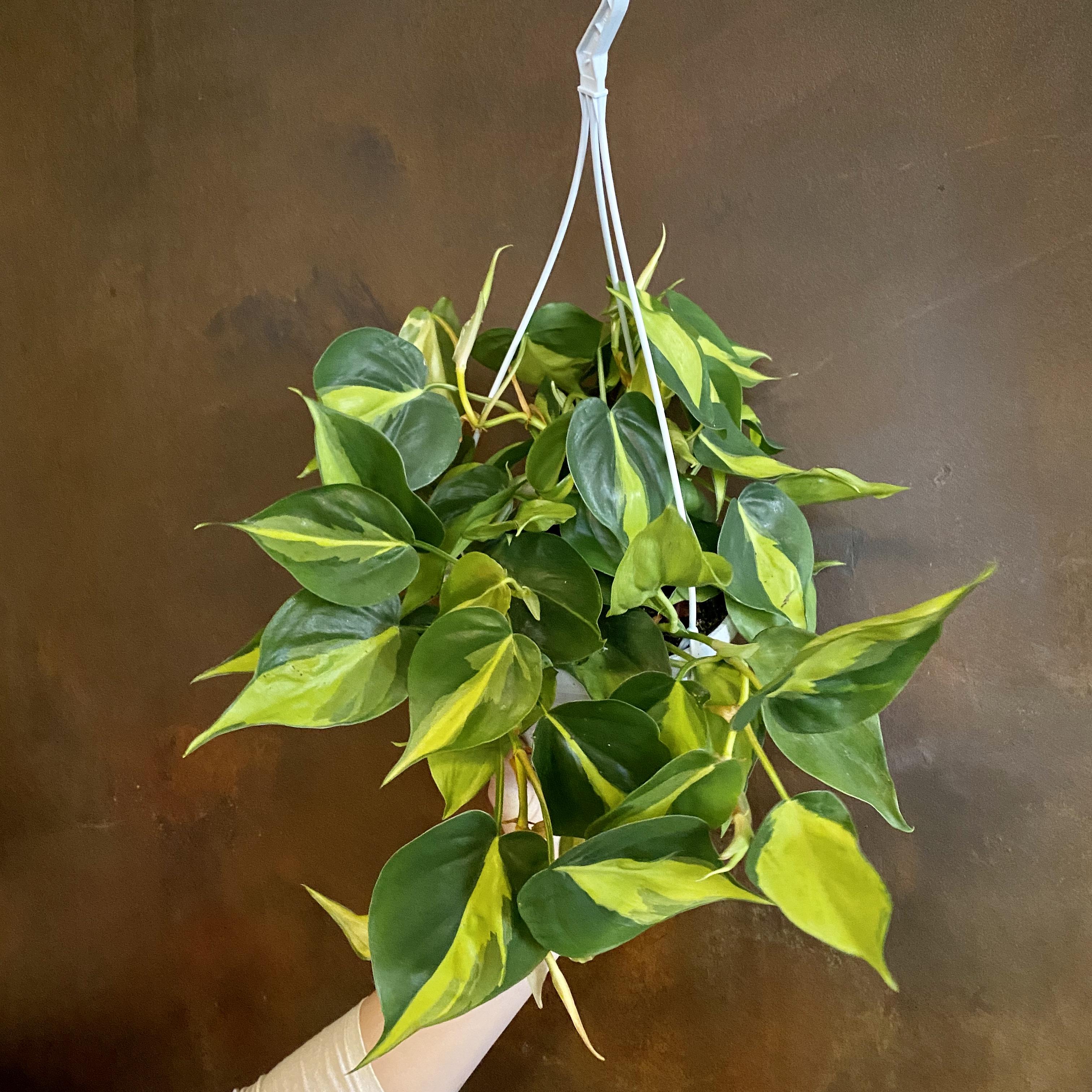 Philodendron 'Brasil' (17cm hangpot)