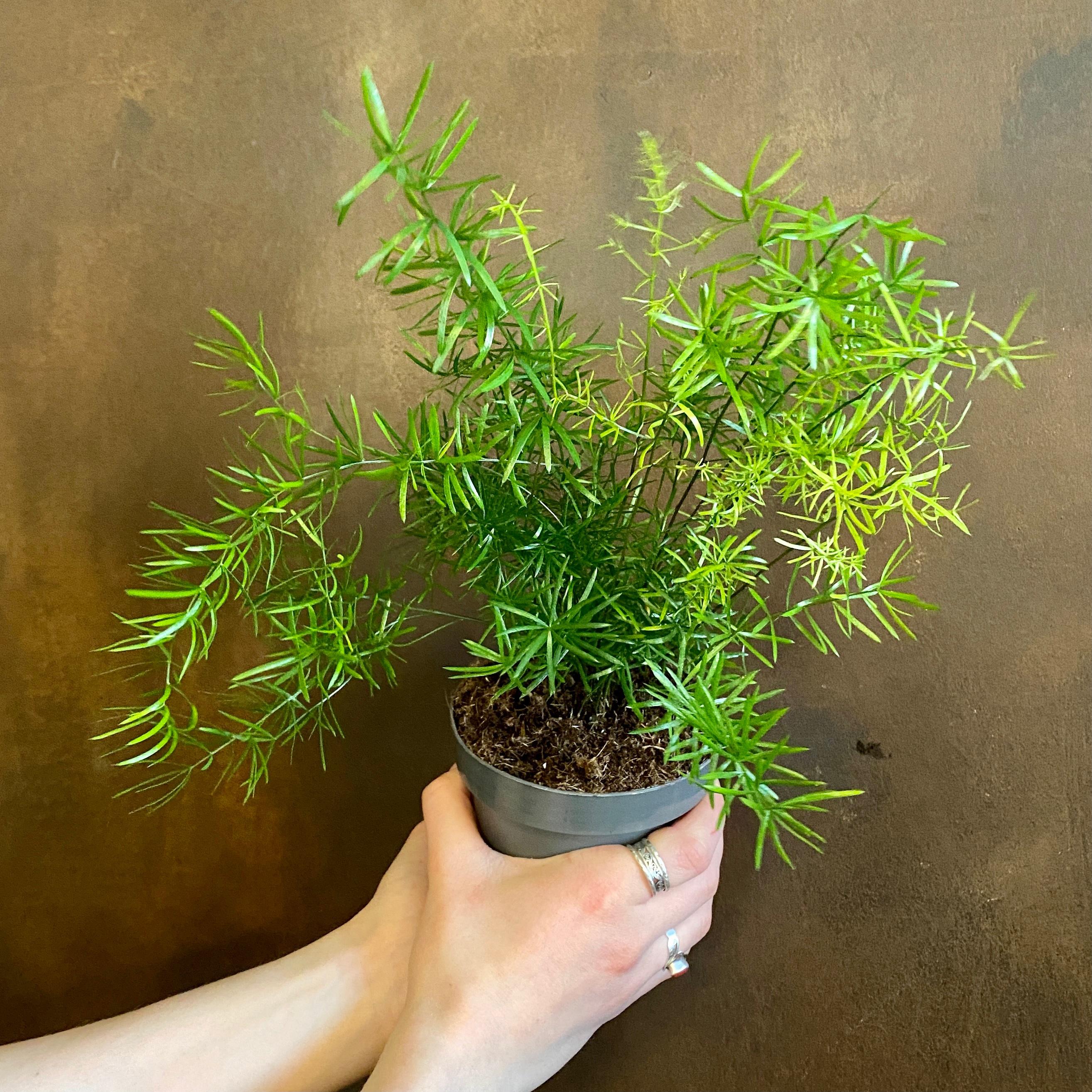 Asparagus densiflorus 'Sprengeri' (12cm Pot)