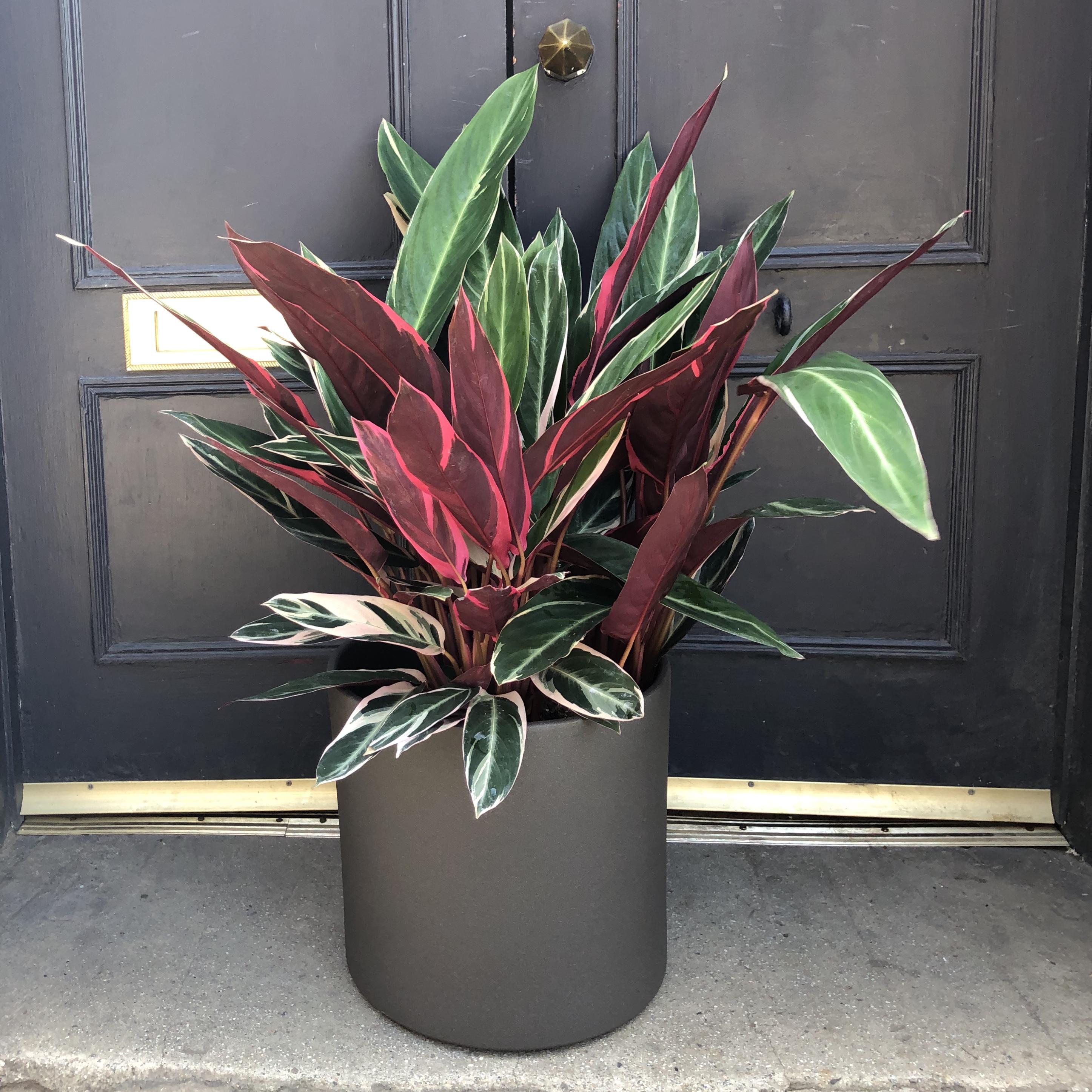 Stromanthe 'Triostar' (27cm pot)