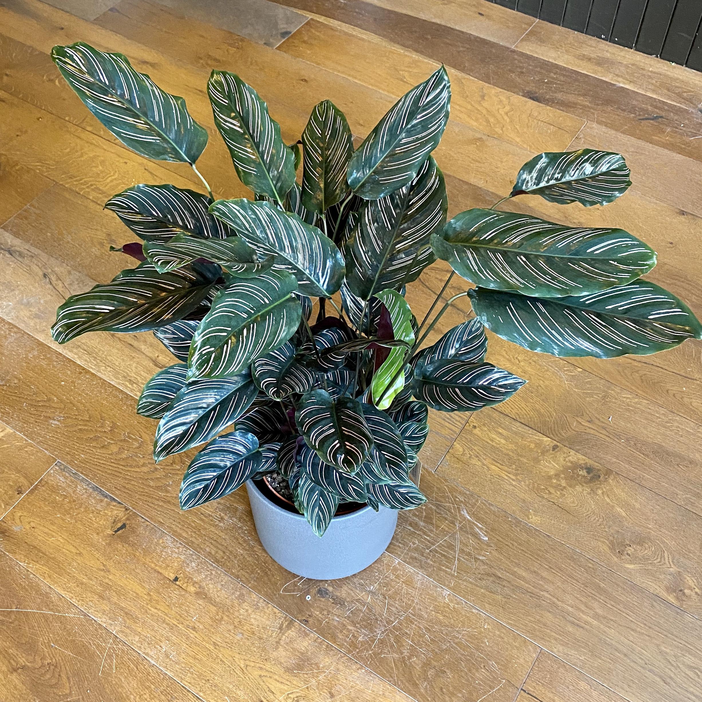 Calathea ornata (24cm pot)