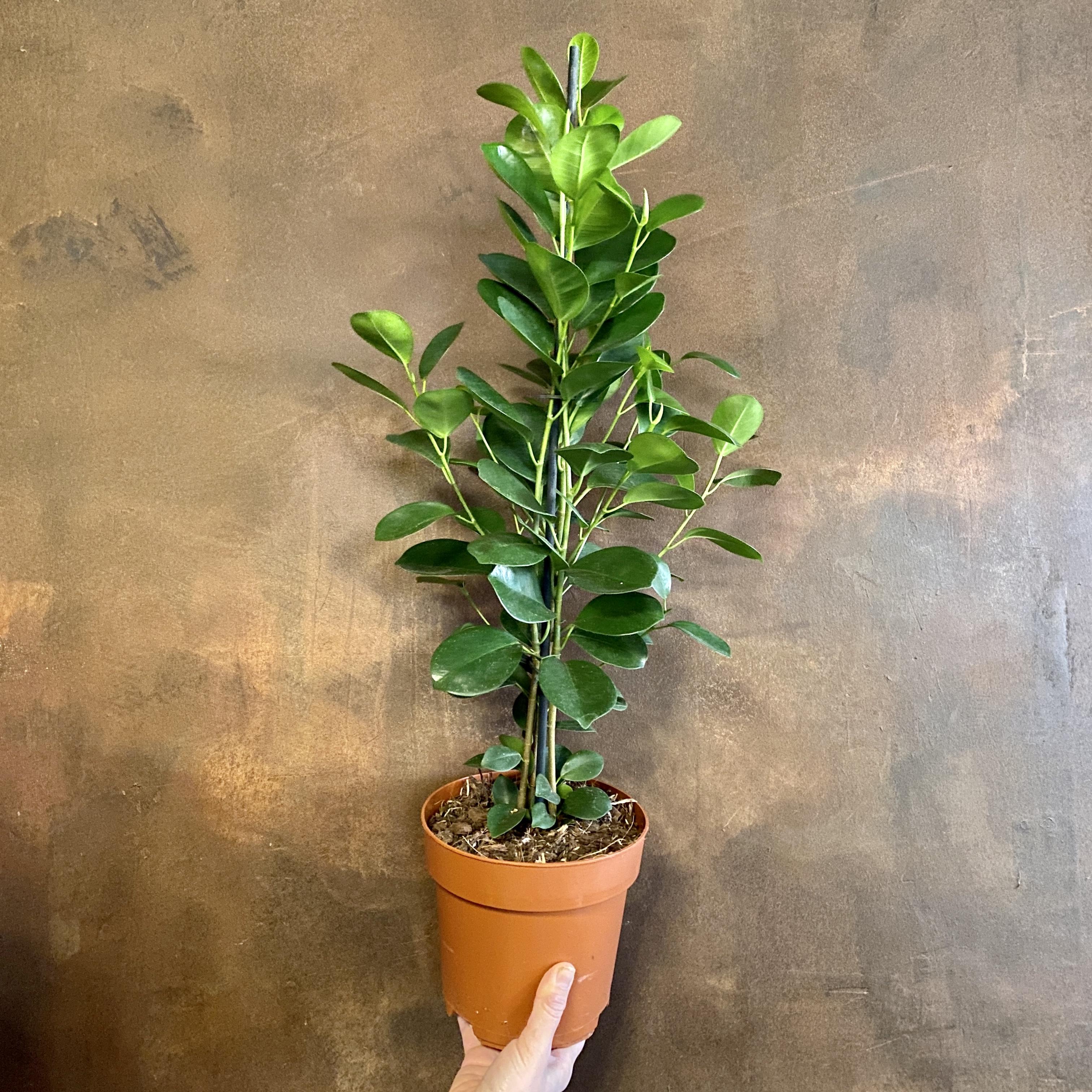 Ficus micro. 'Moclame' (17cm pot)