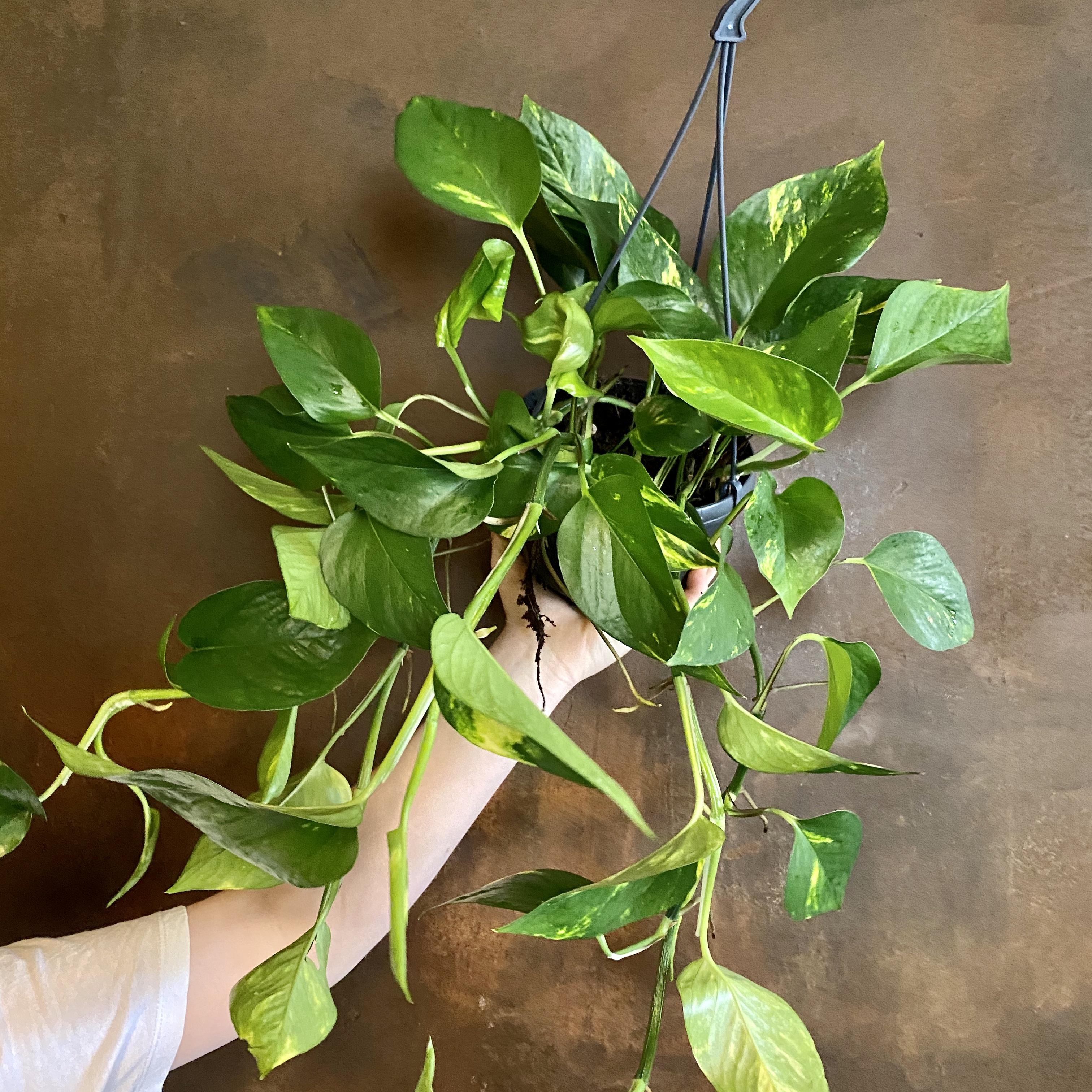 Epipremnum aureum (15cm hangpot)