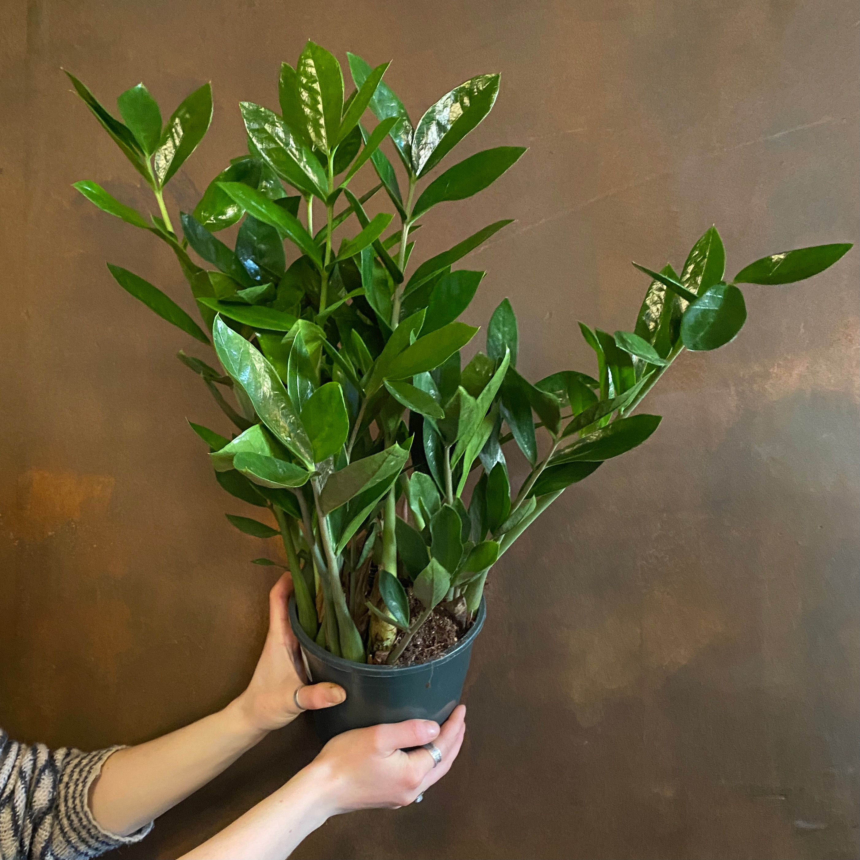 Zamioculcas zamifolia - Big Leaves (17cm pot)