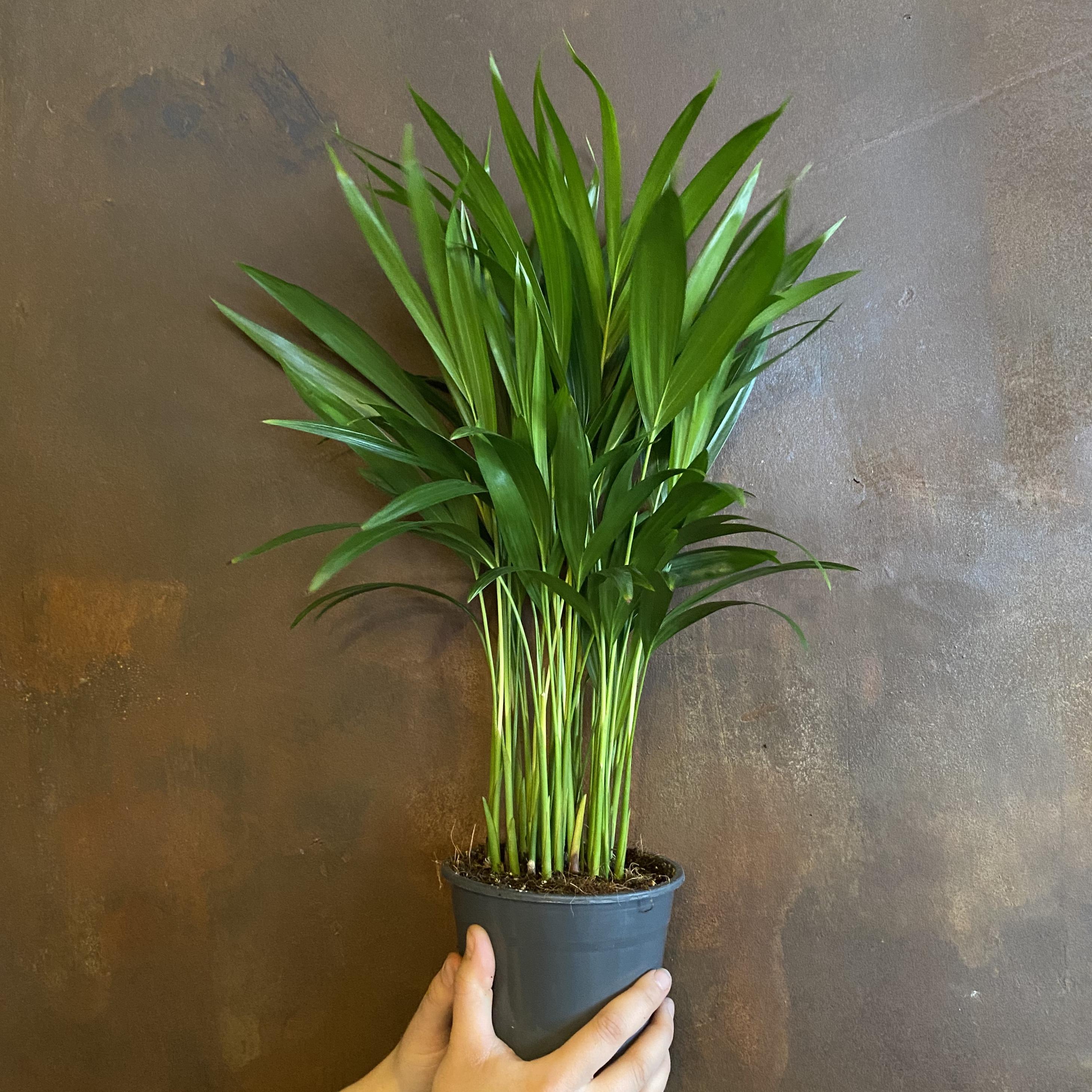 Dypsis lutescens (14cm pot)