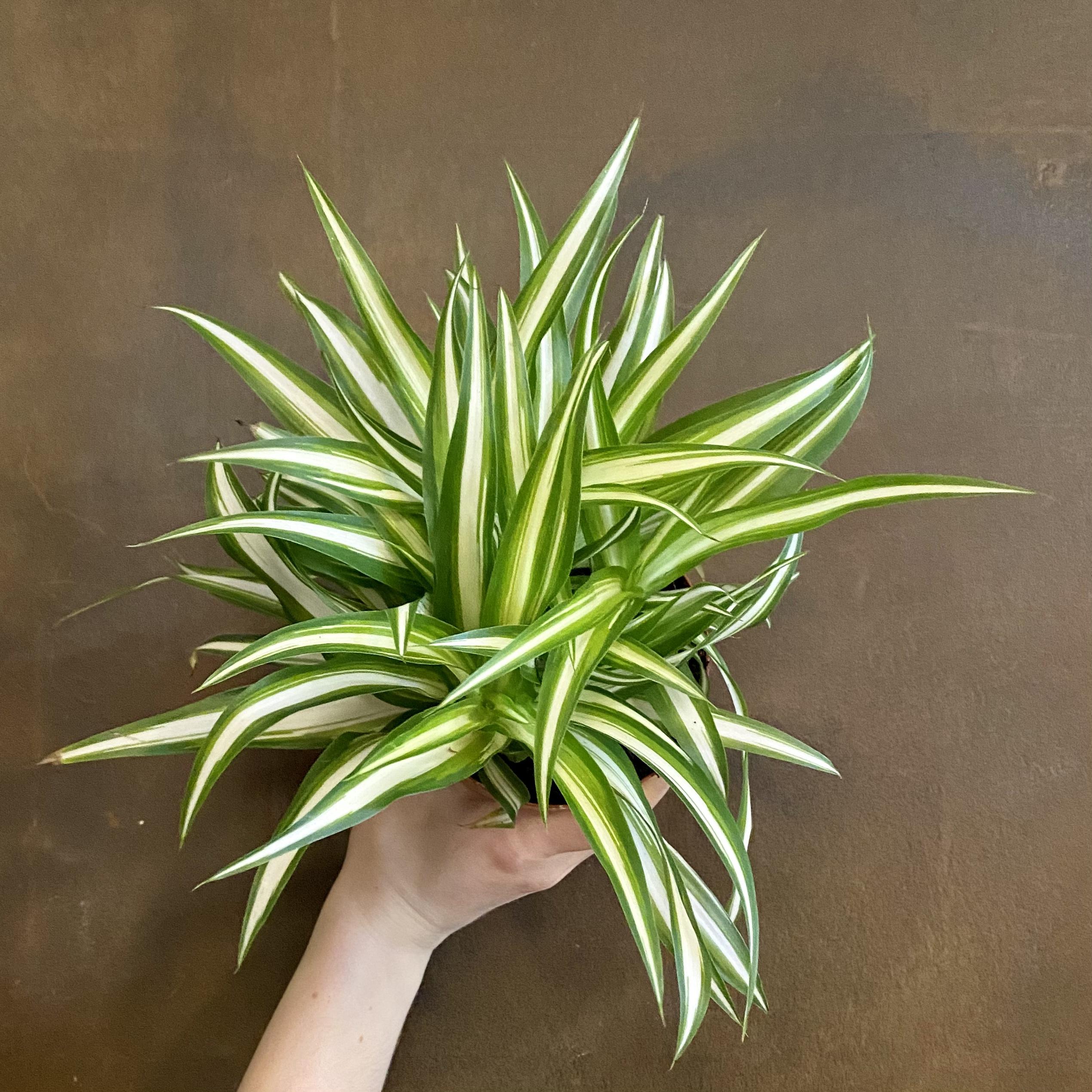 Chlorophytum 'Vittatum'