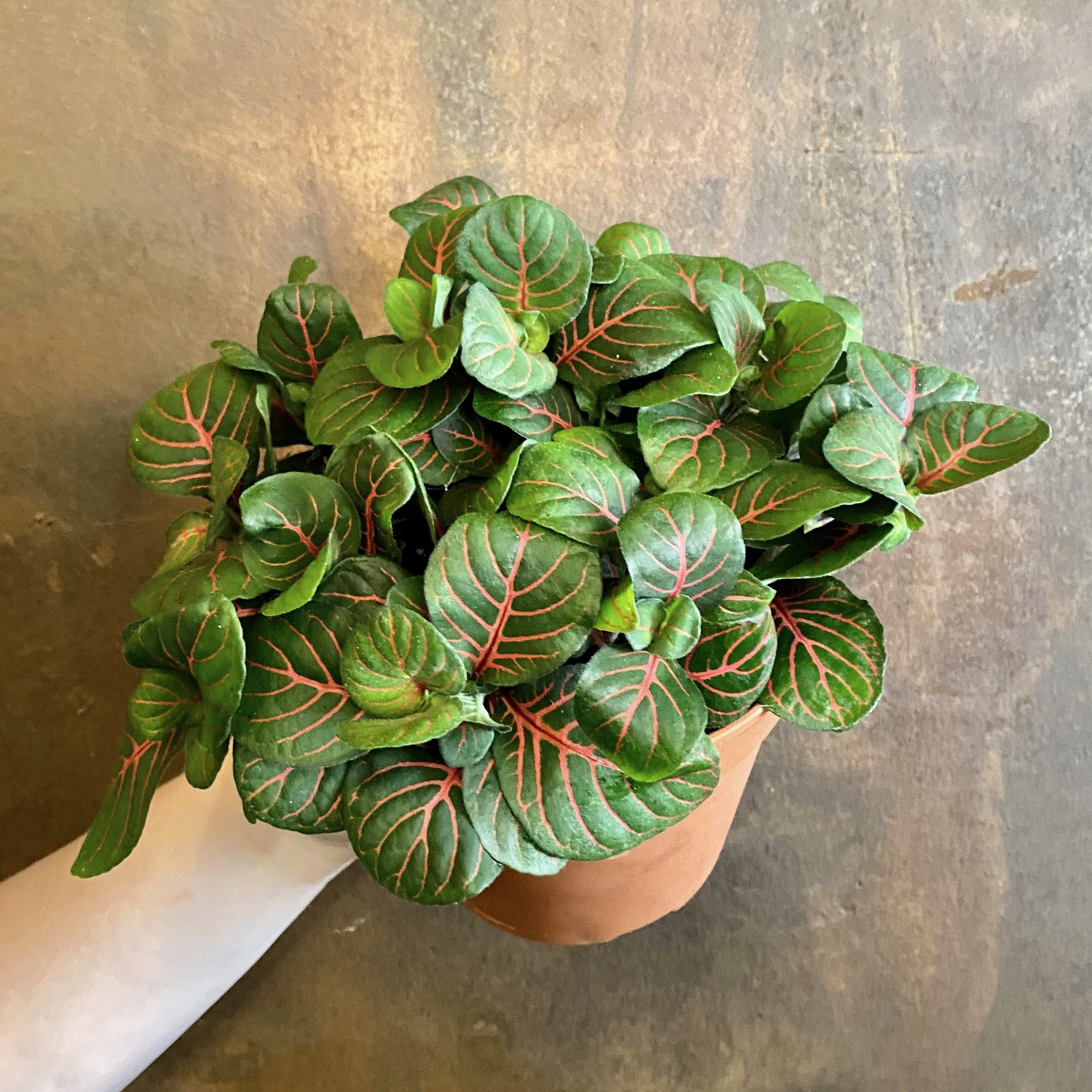 Fittonia 'Bubble Red' (12cm pot)