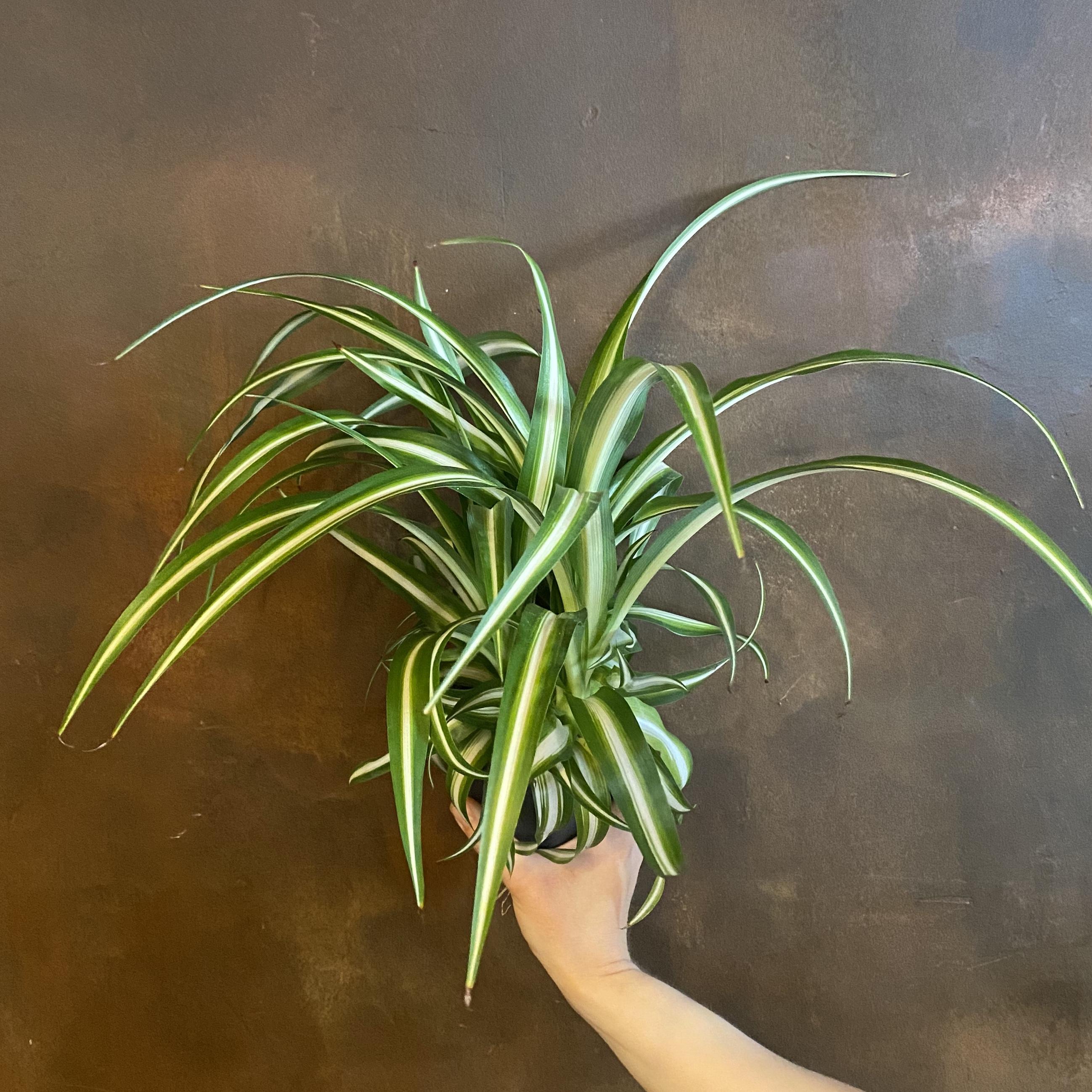 Chlorophytum 'Variegatum'
