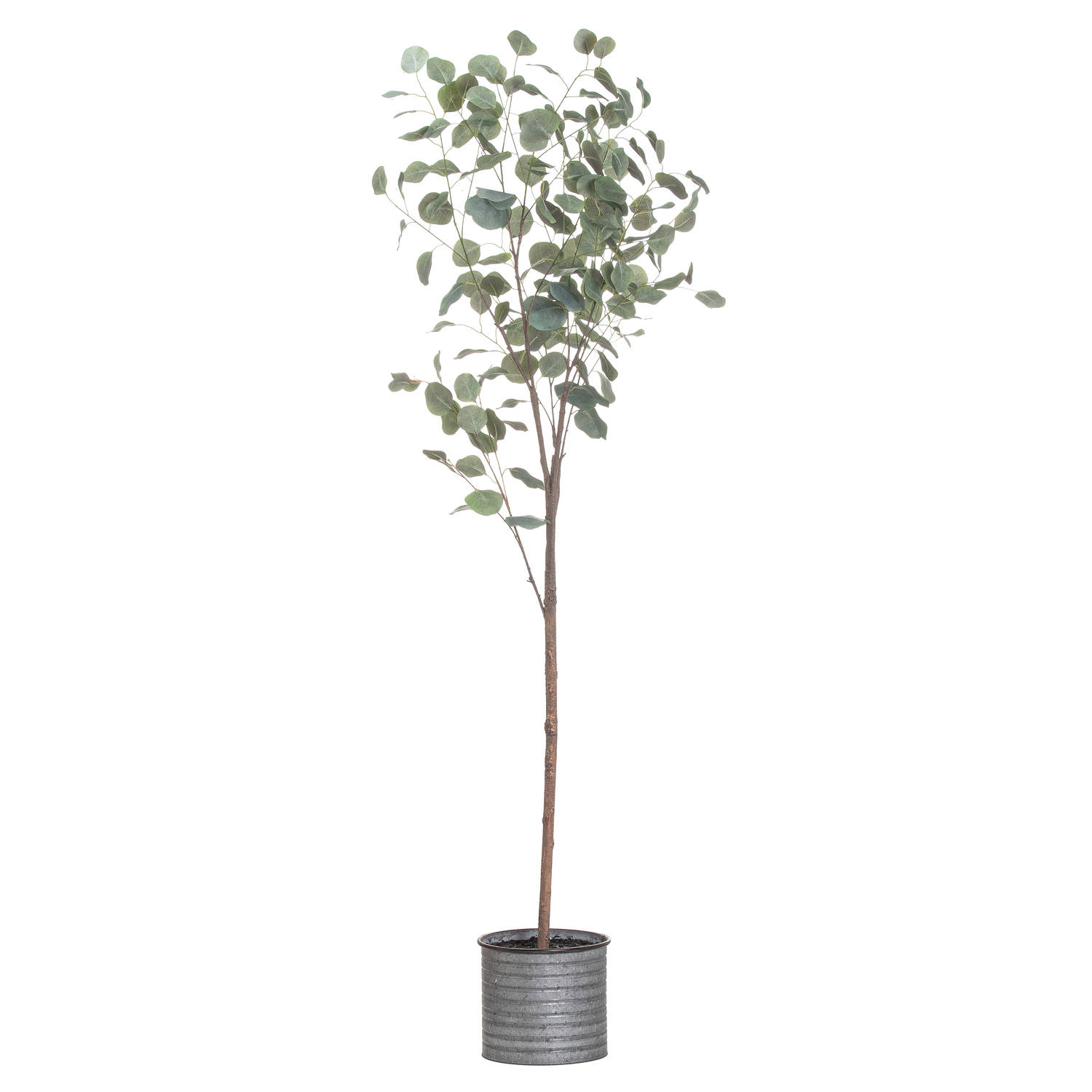 Large Eucalyptus Tree In Metal Pot