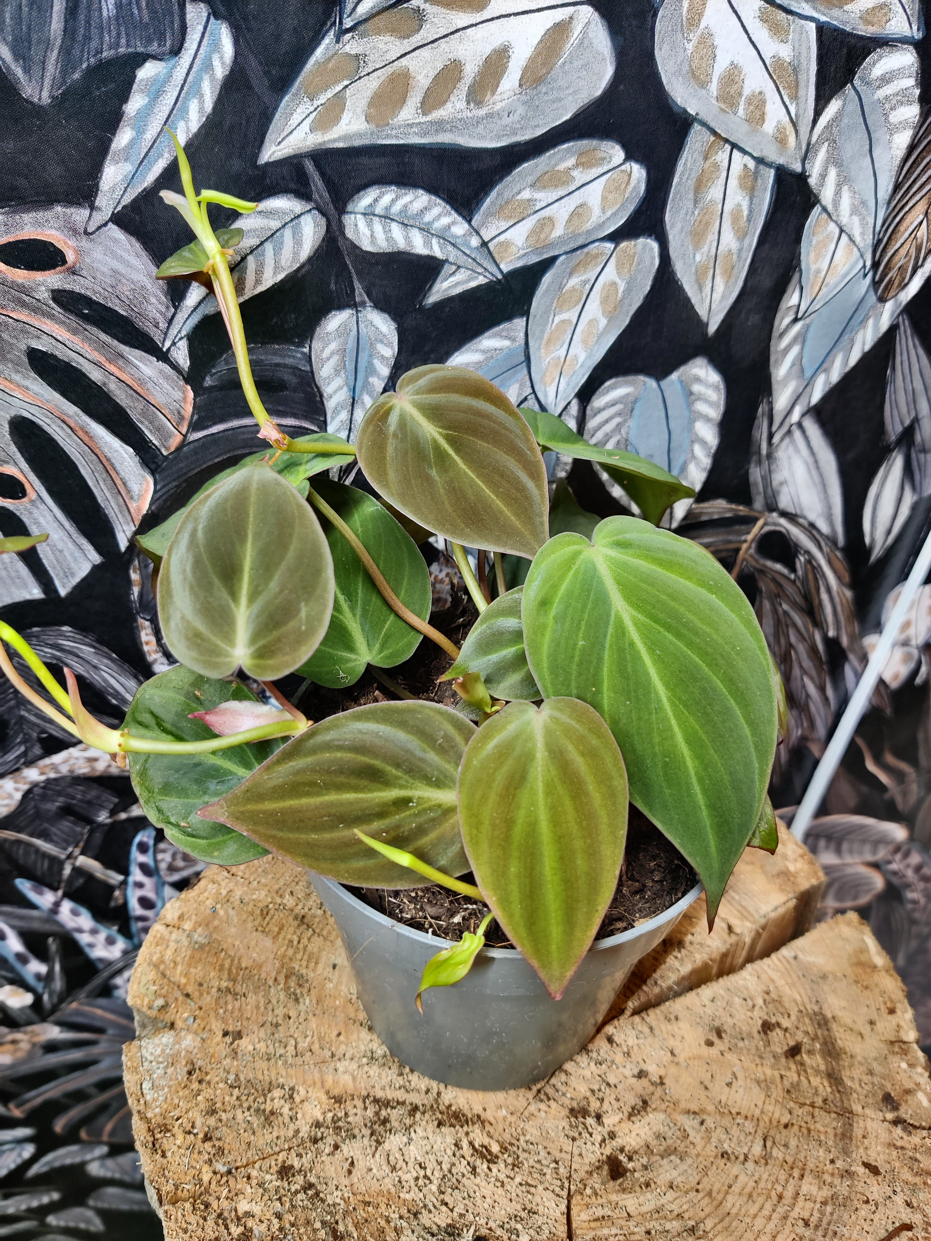 Philodendron 'micans'