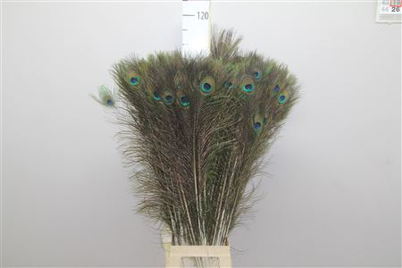Peacock Feathers set of 5