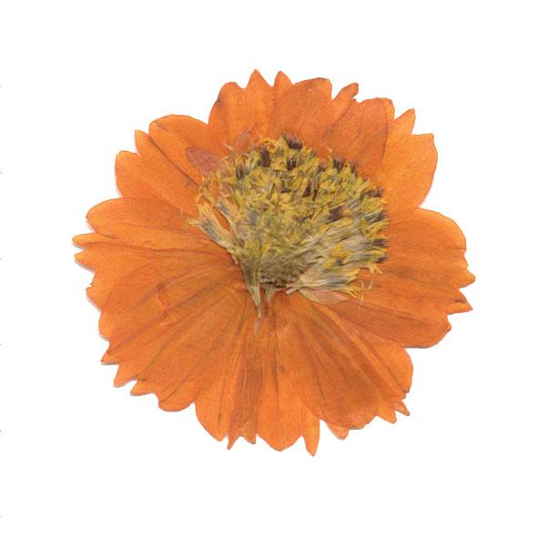 Cosmos Orange - pressede blomster