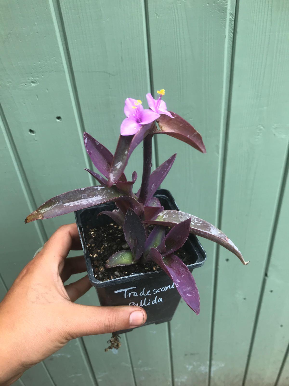 Tradescantia pallida 'Purpurea'  (Purple Spiderwort)