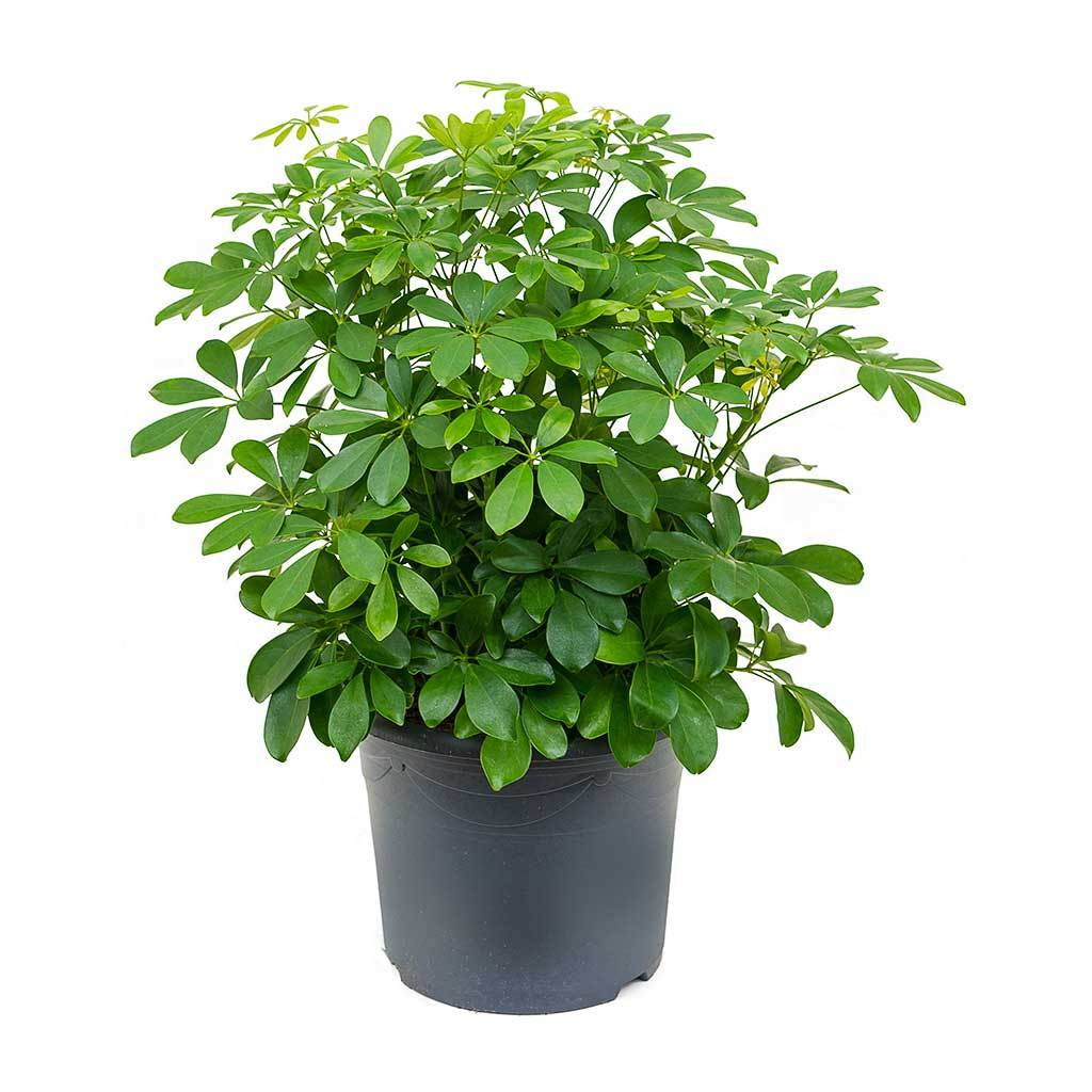 Schefflera - Umbrella Tree