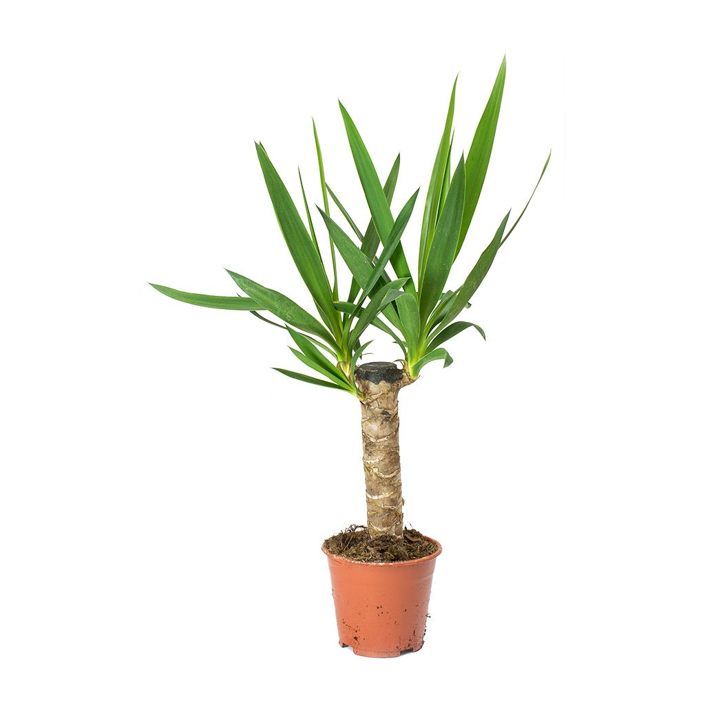 Yucca - Various Sizes