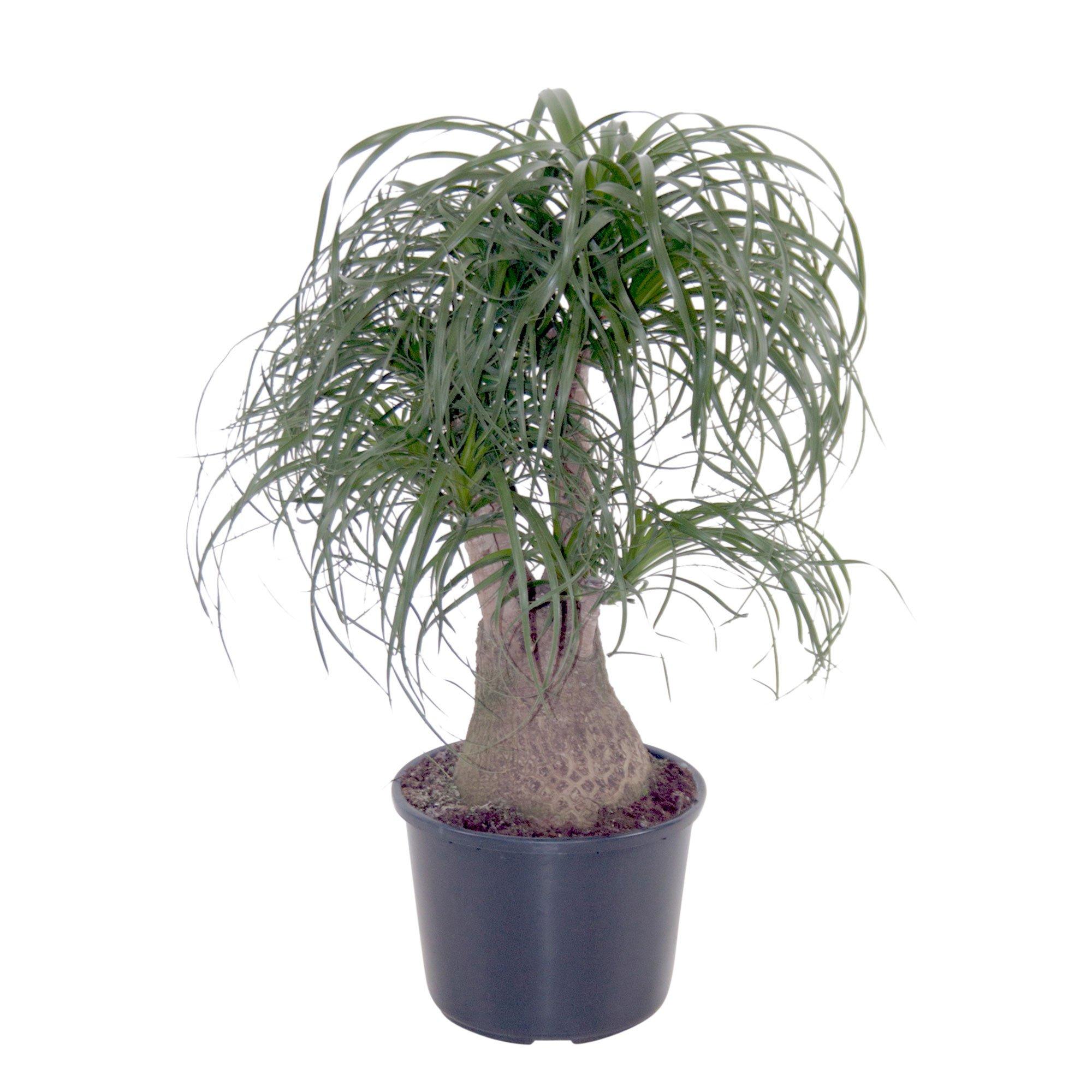 Beaucarnea - Pony Tail Palm