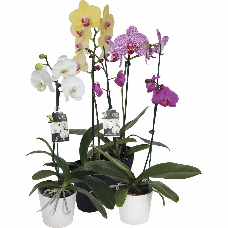 Phalaenopsis - Moth Orchid
