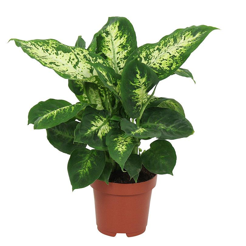 Diffenbachia - Chinese Evergreen