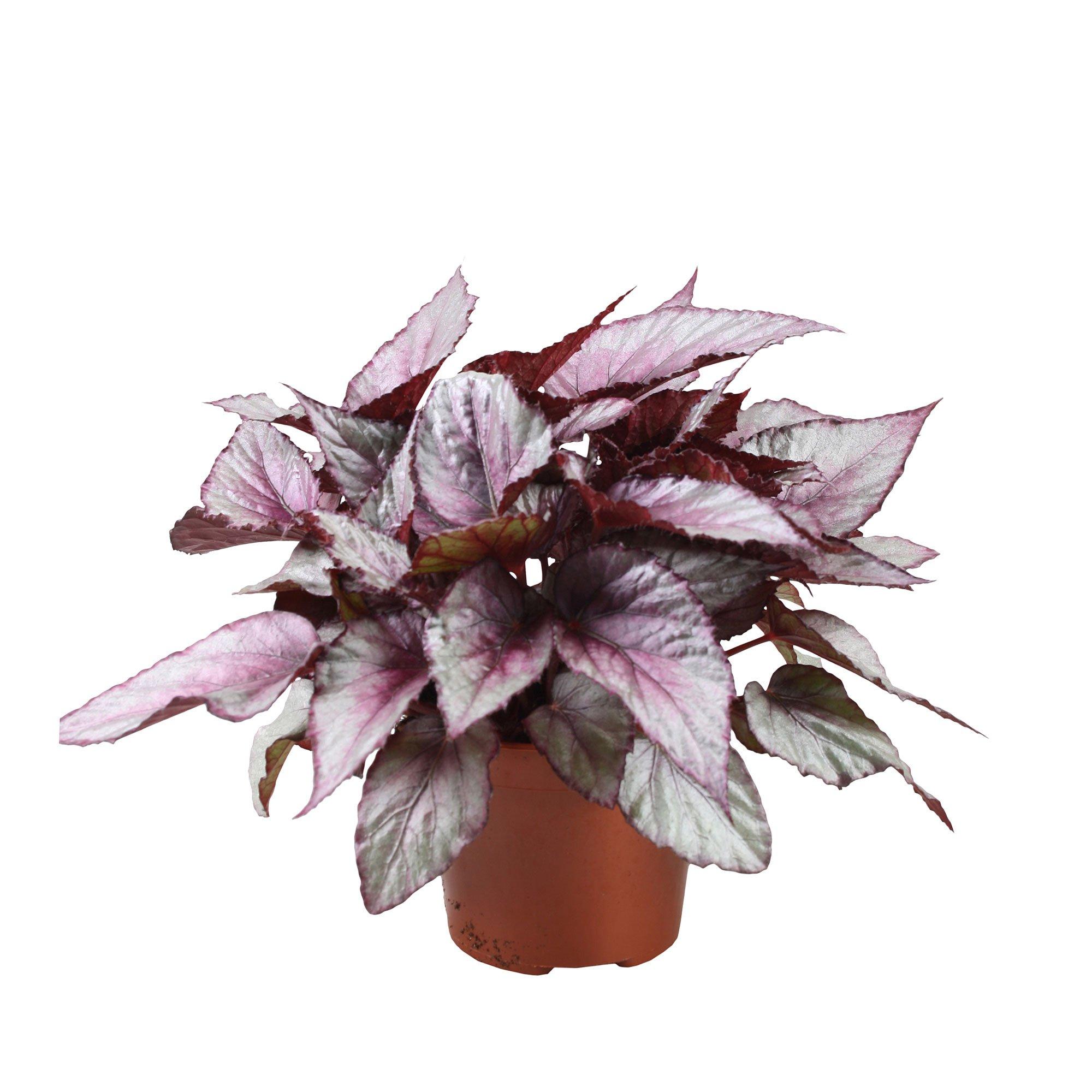 Begonia - Metallic Begonia
