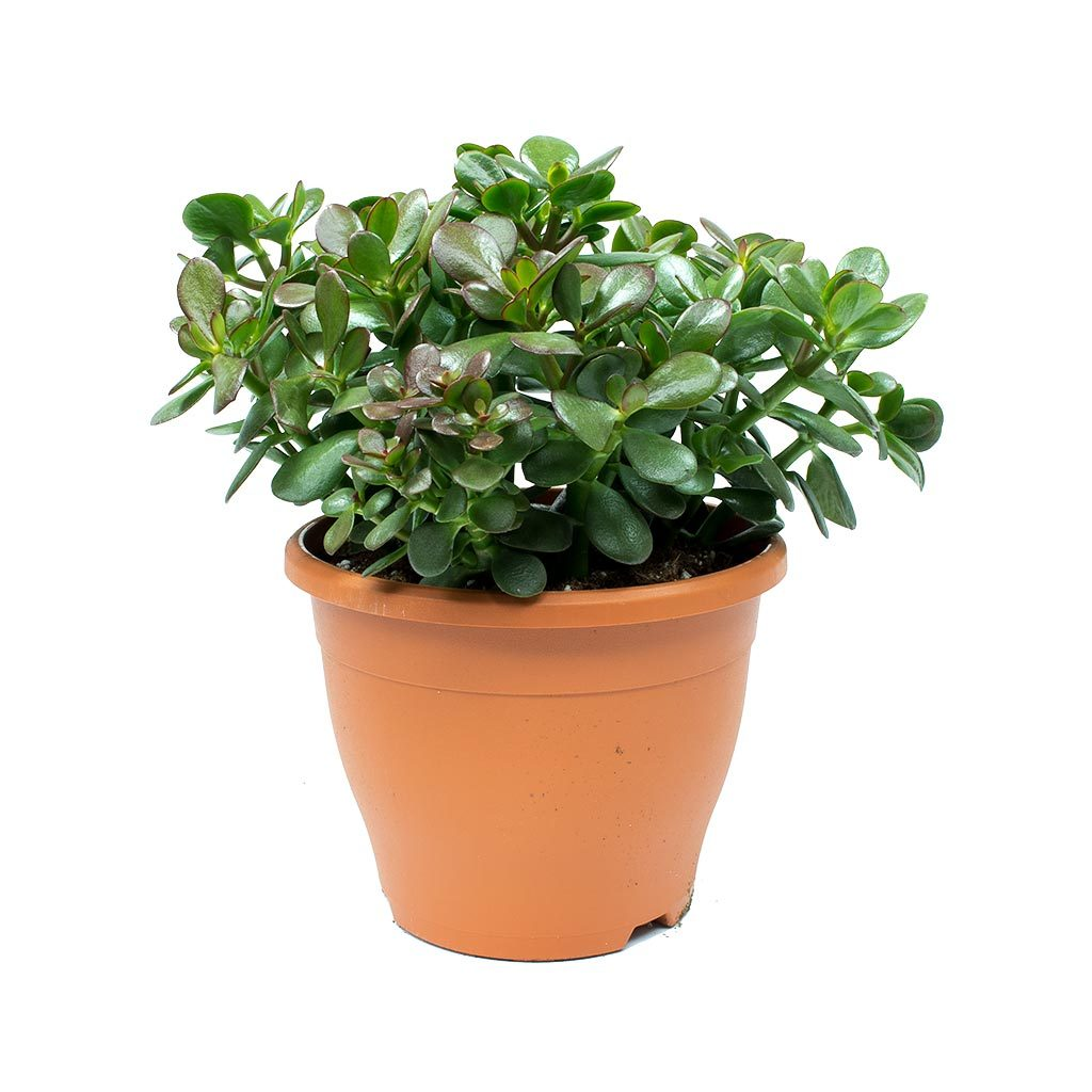 Crassula Ovata - Money Tree
