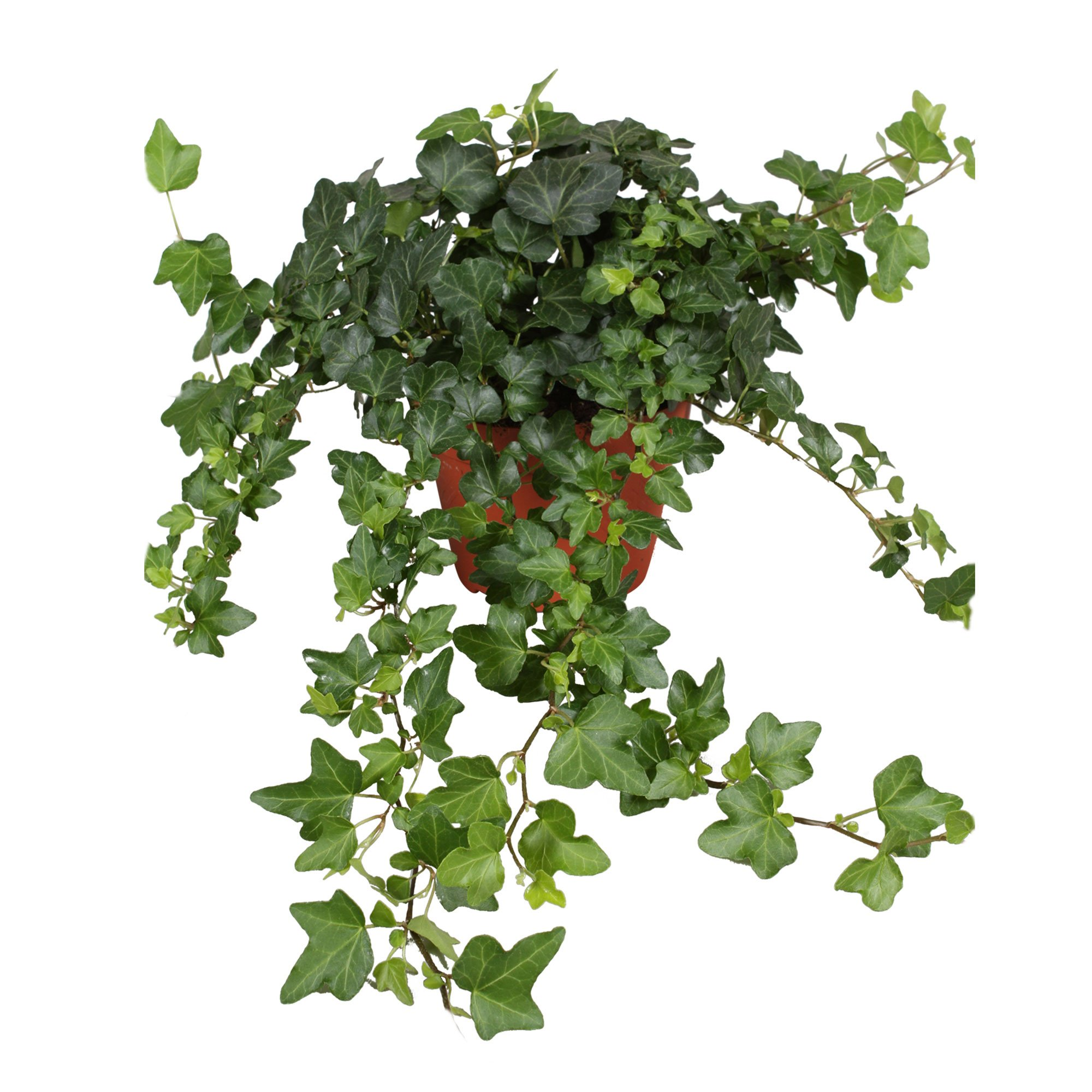 Hedera - Ivy Dark Green