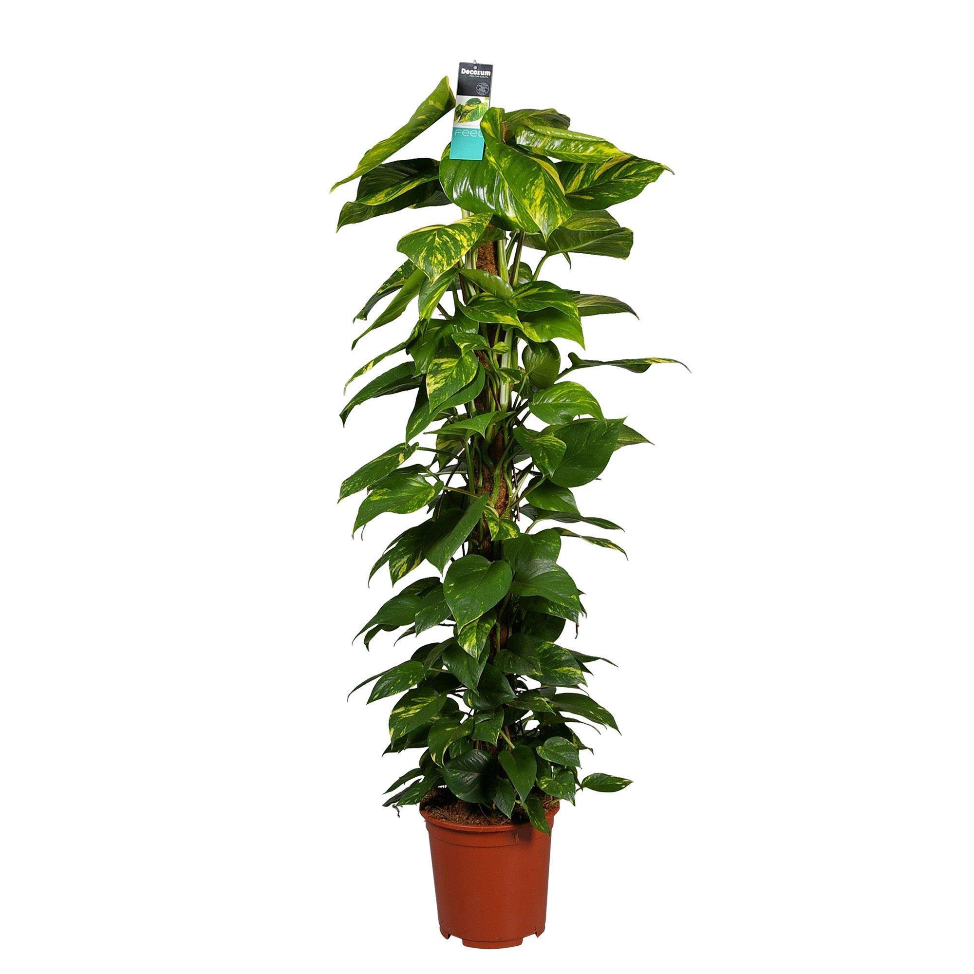 Epipremnum Aureum - On Moss Pole