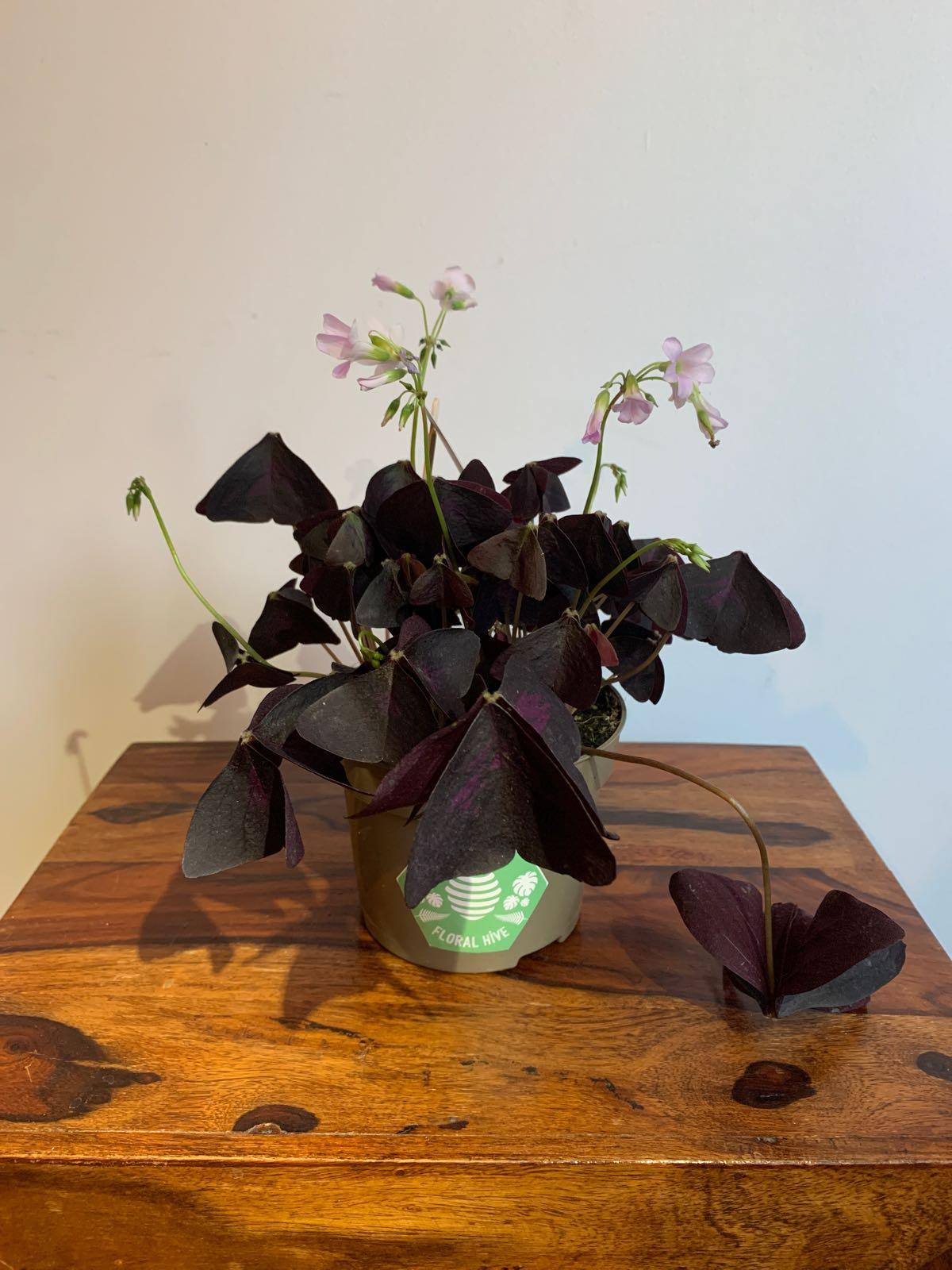 False Shamrock Purple - Oxalis triangularis