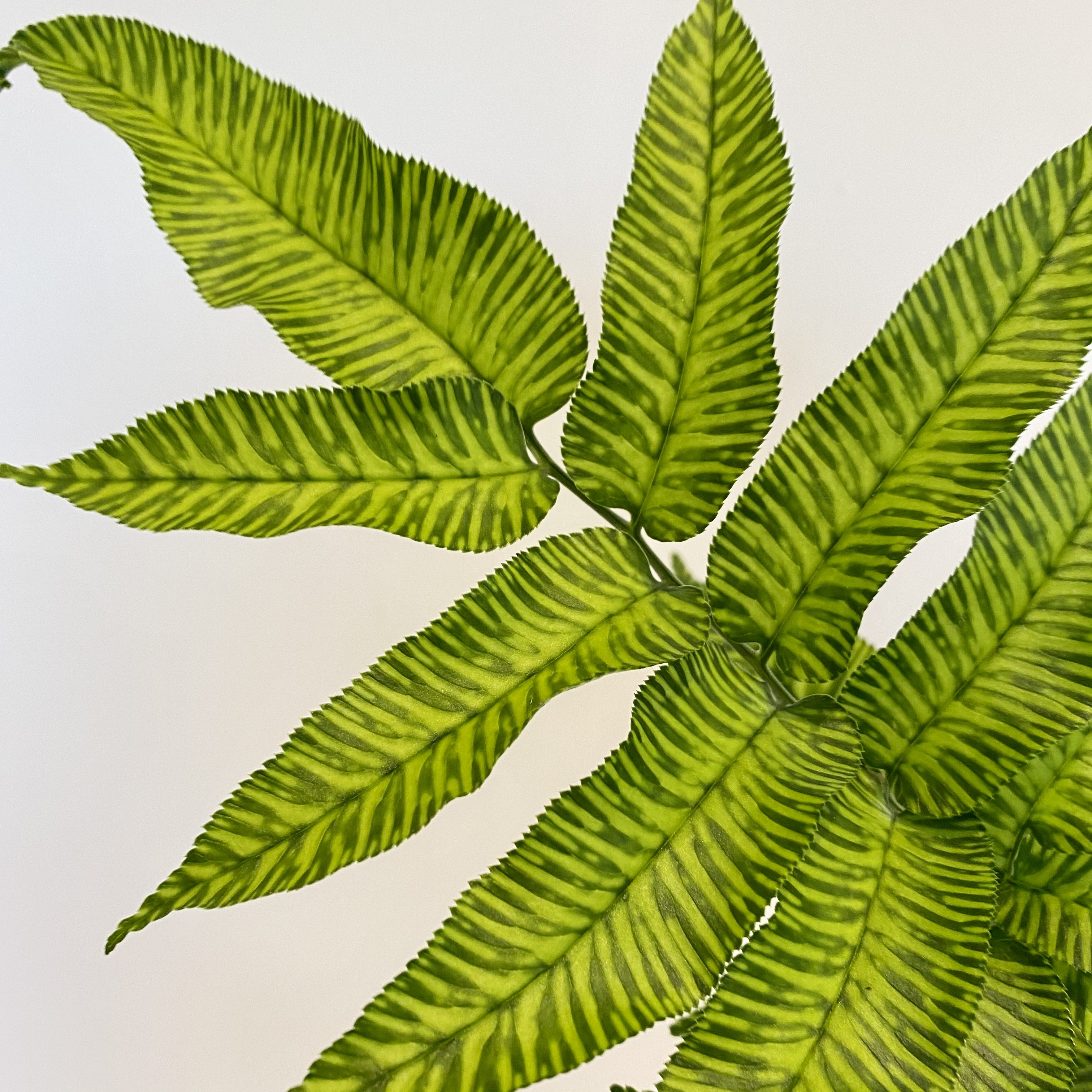 Variegated bamboo fern