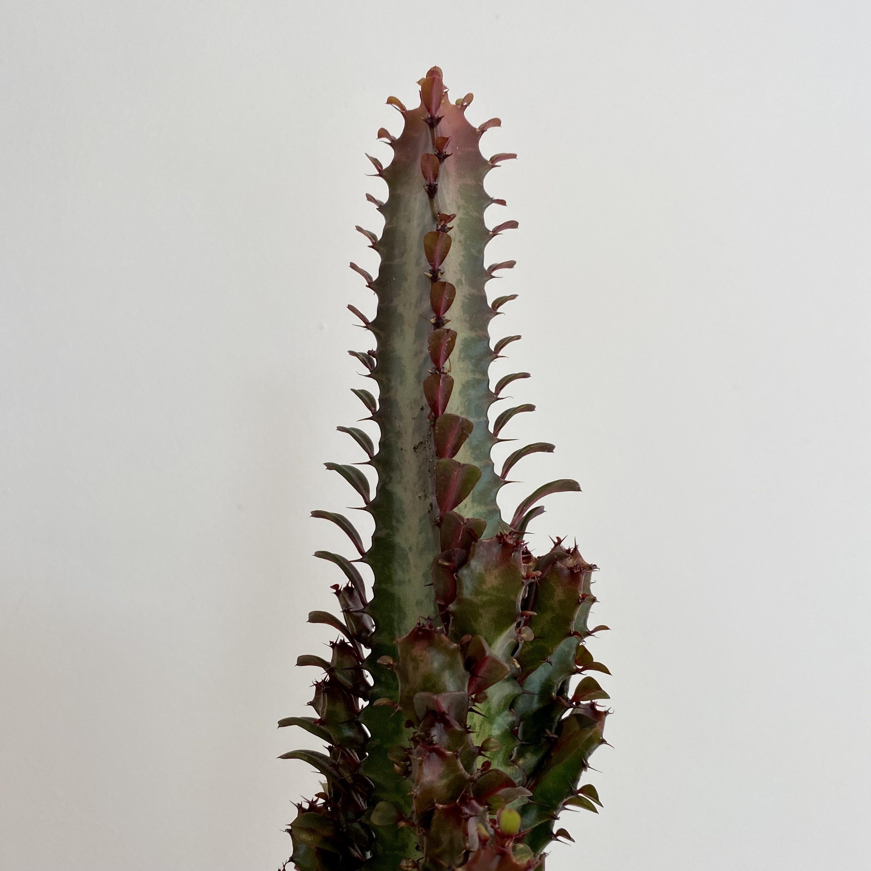 Euphorbia - large (mixed varieties)