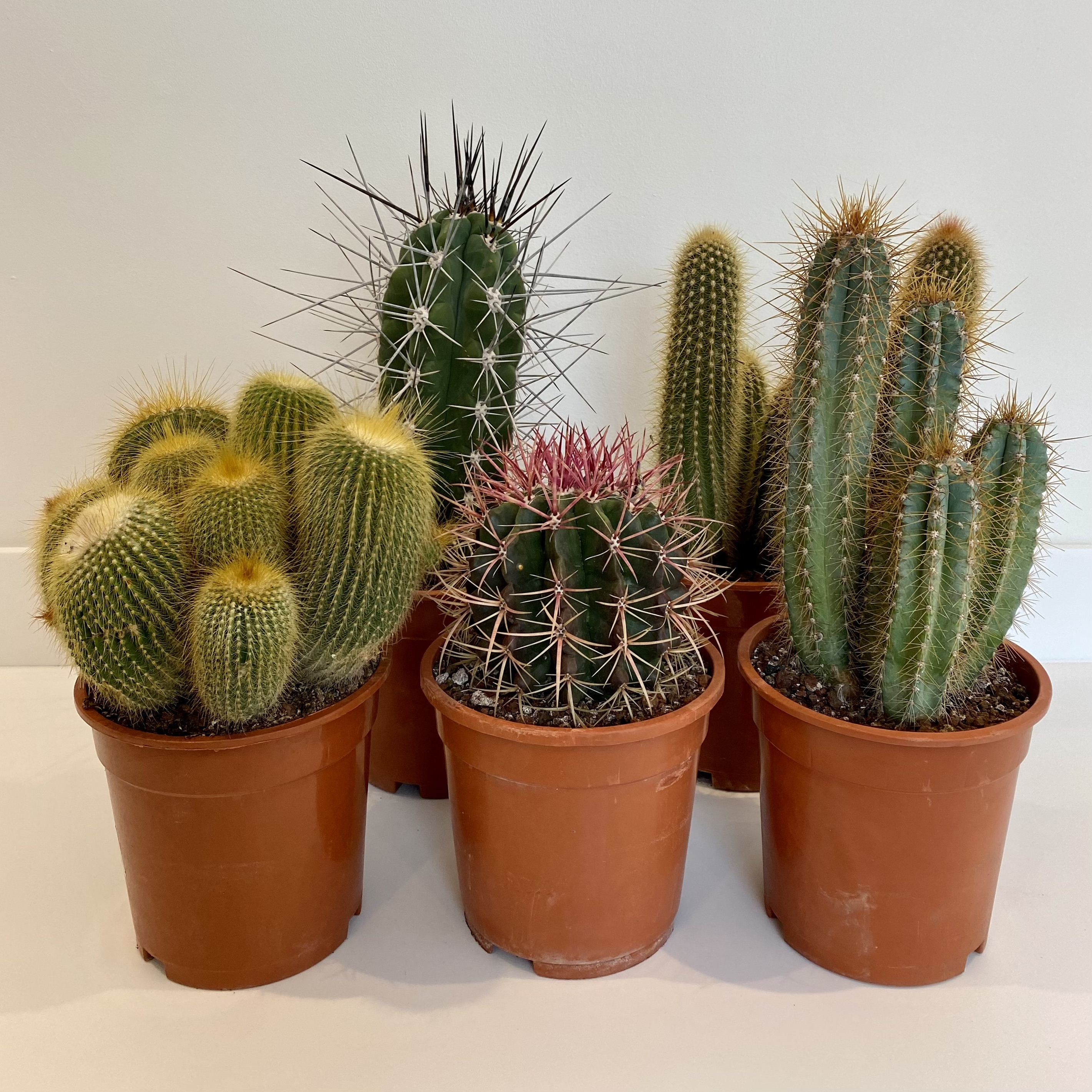 Cacti - large (mixed varieties)
