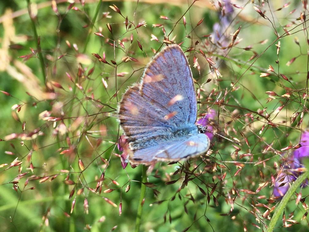Ängsfrö - Fjäril