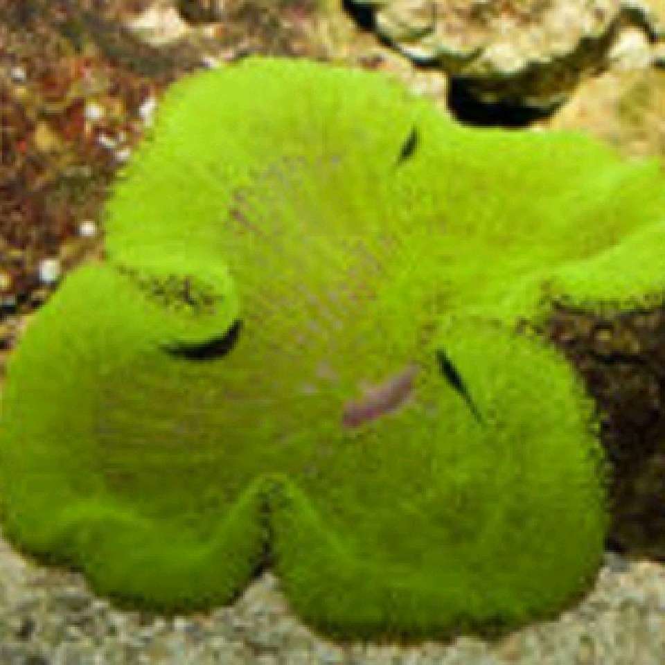 Stichodactyla haddoni Metalic Green