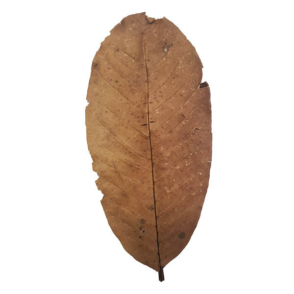 Guava Leaves x 15