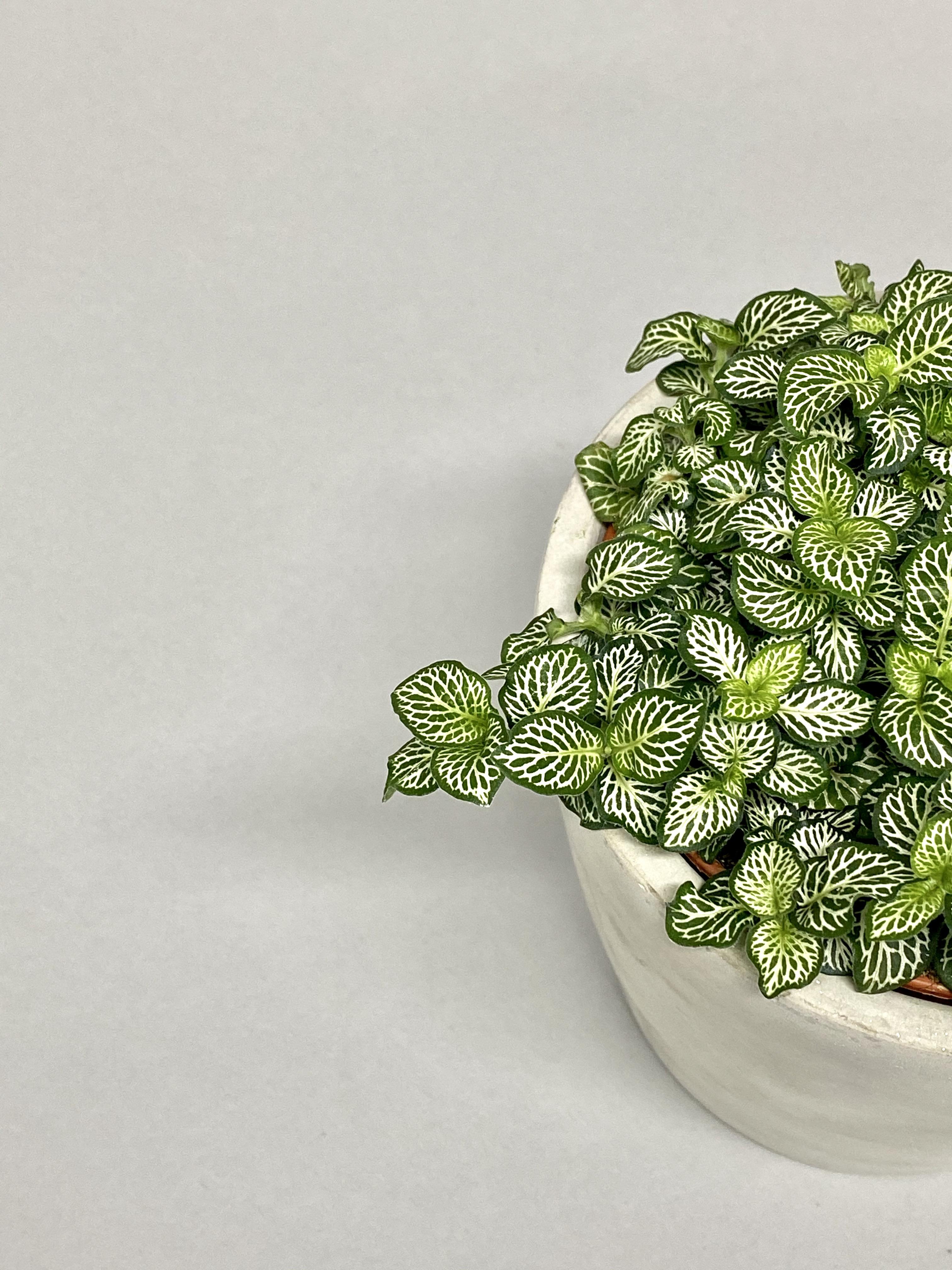 Fittonia Green Minima